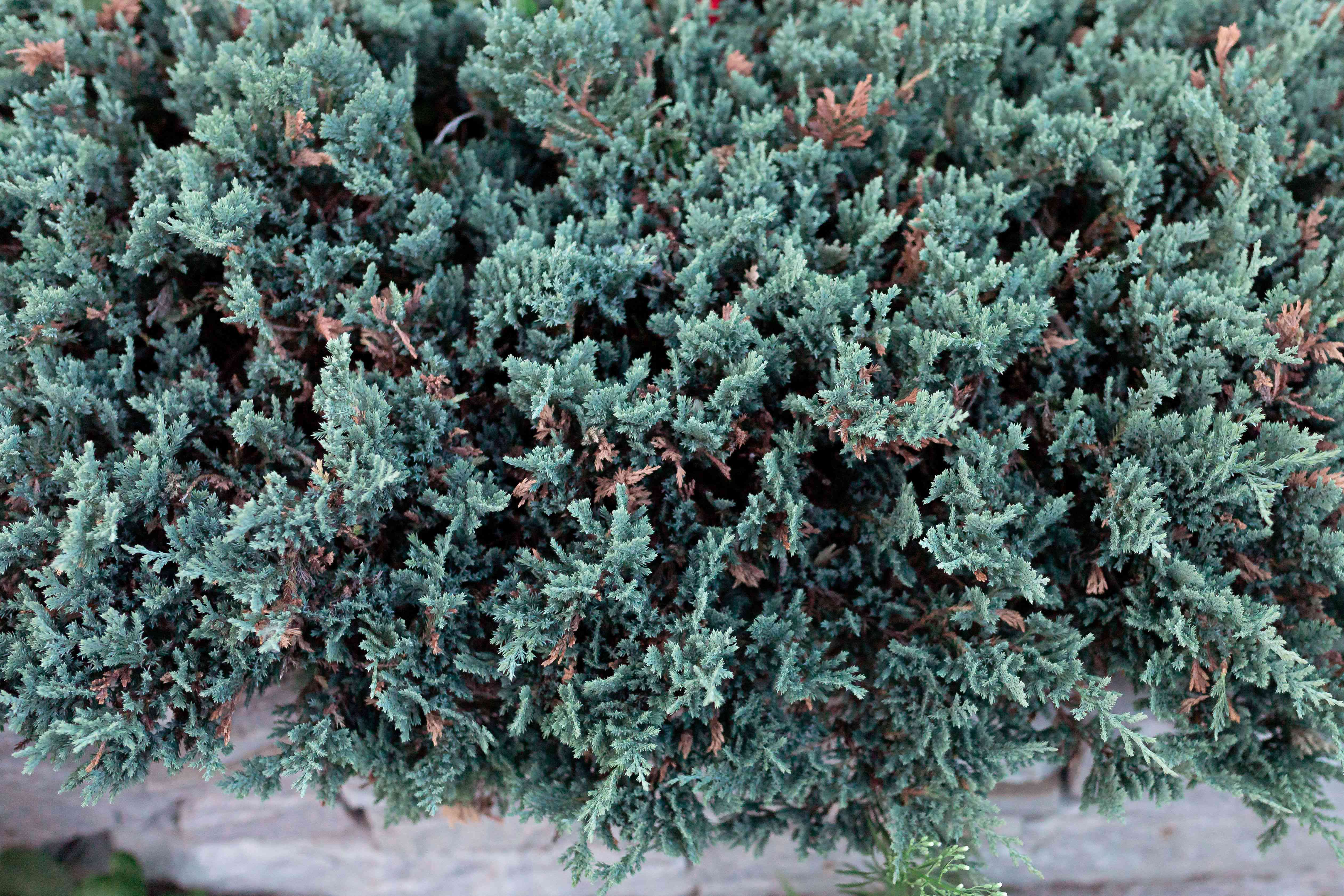 Blue rug juniper plant with flat blue-green foliage above rock