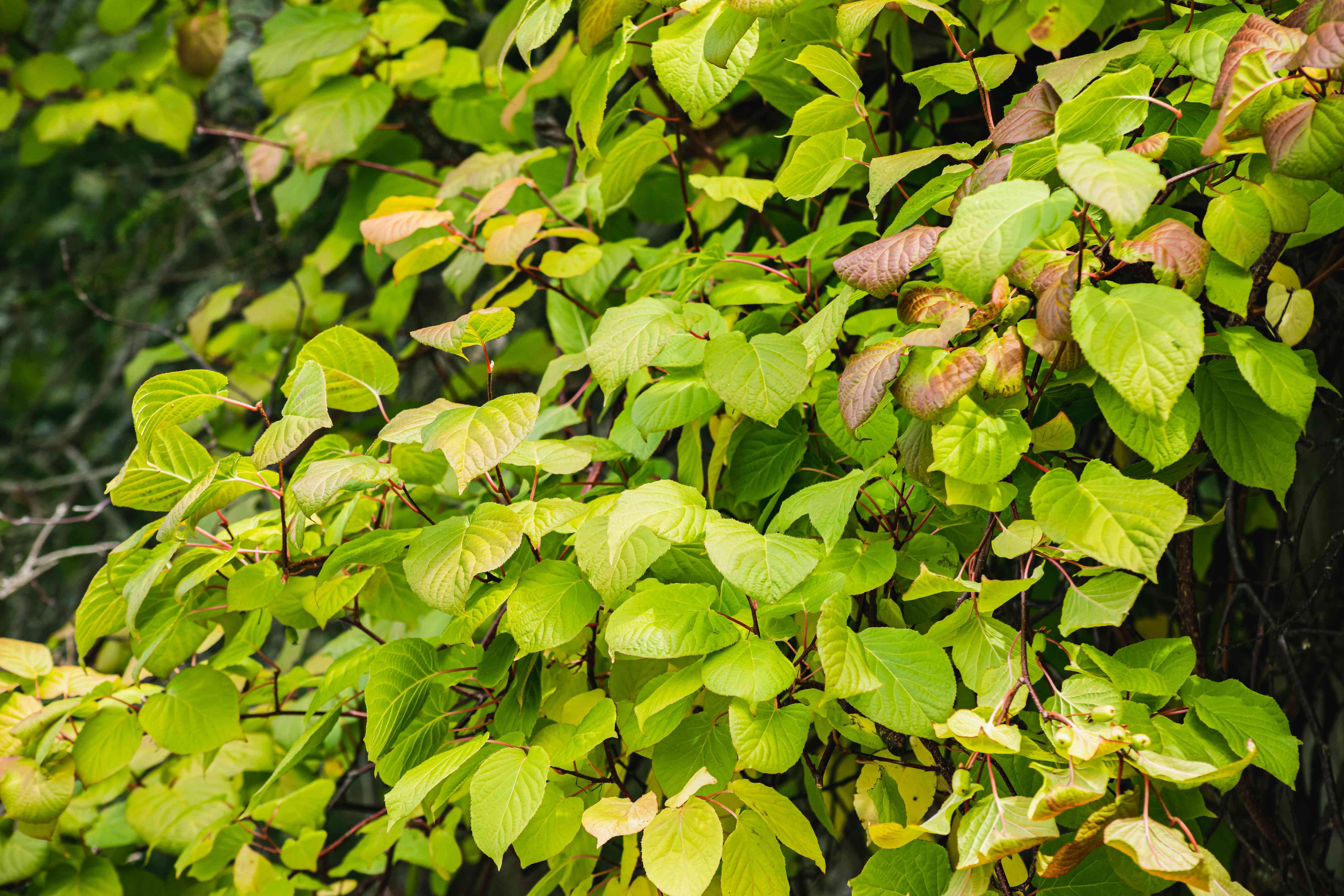 hardy kiwi vine