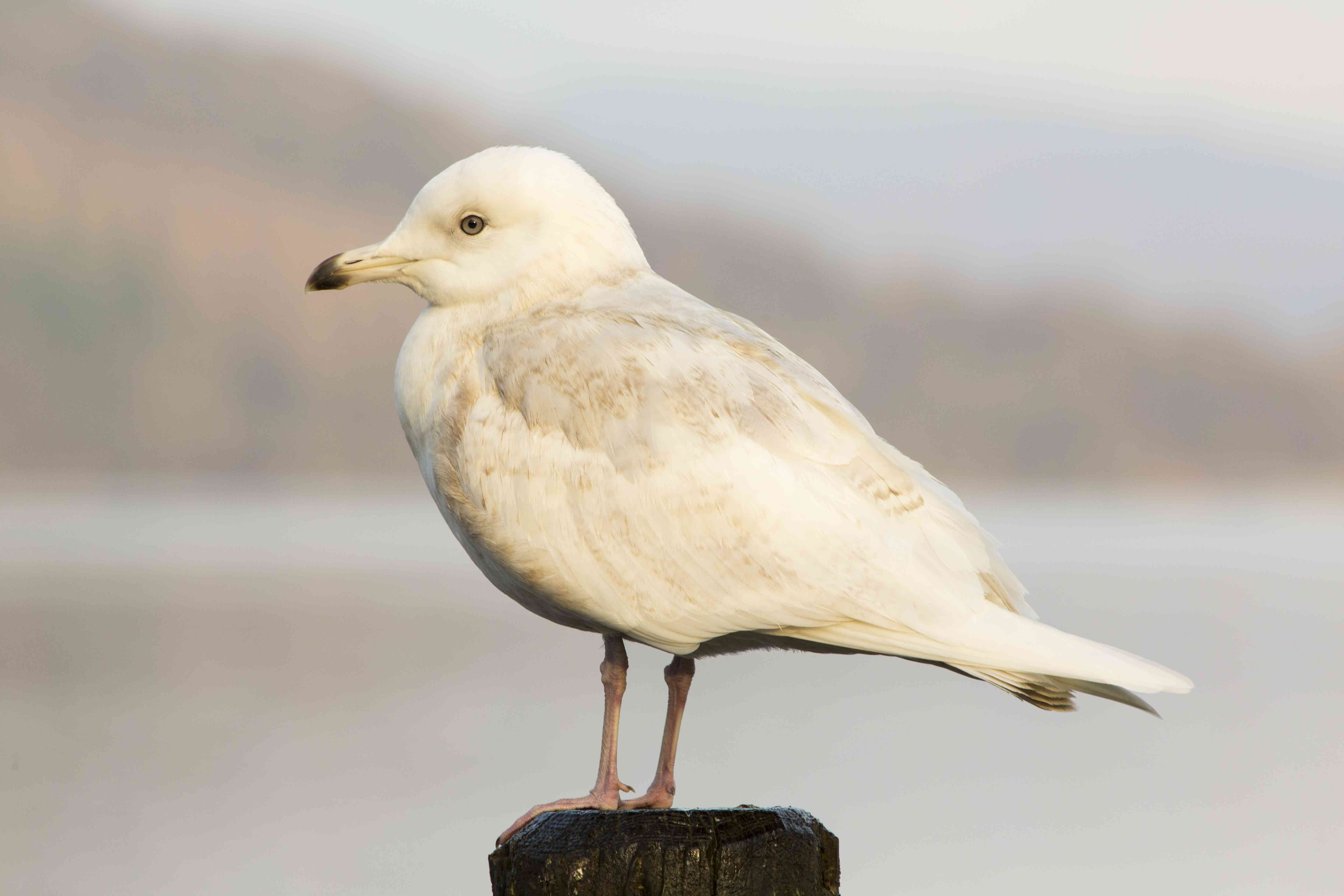 A Rare Iceland Gull (Larus glaucoides) at Bowness on Windermere in the Lake District, UK.