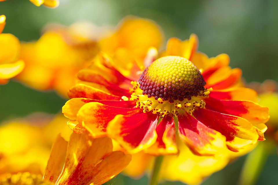 Sneezeweed -Helenium-, flowers, yellow and orange, Saxony, Germany