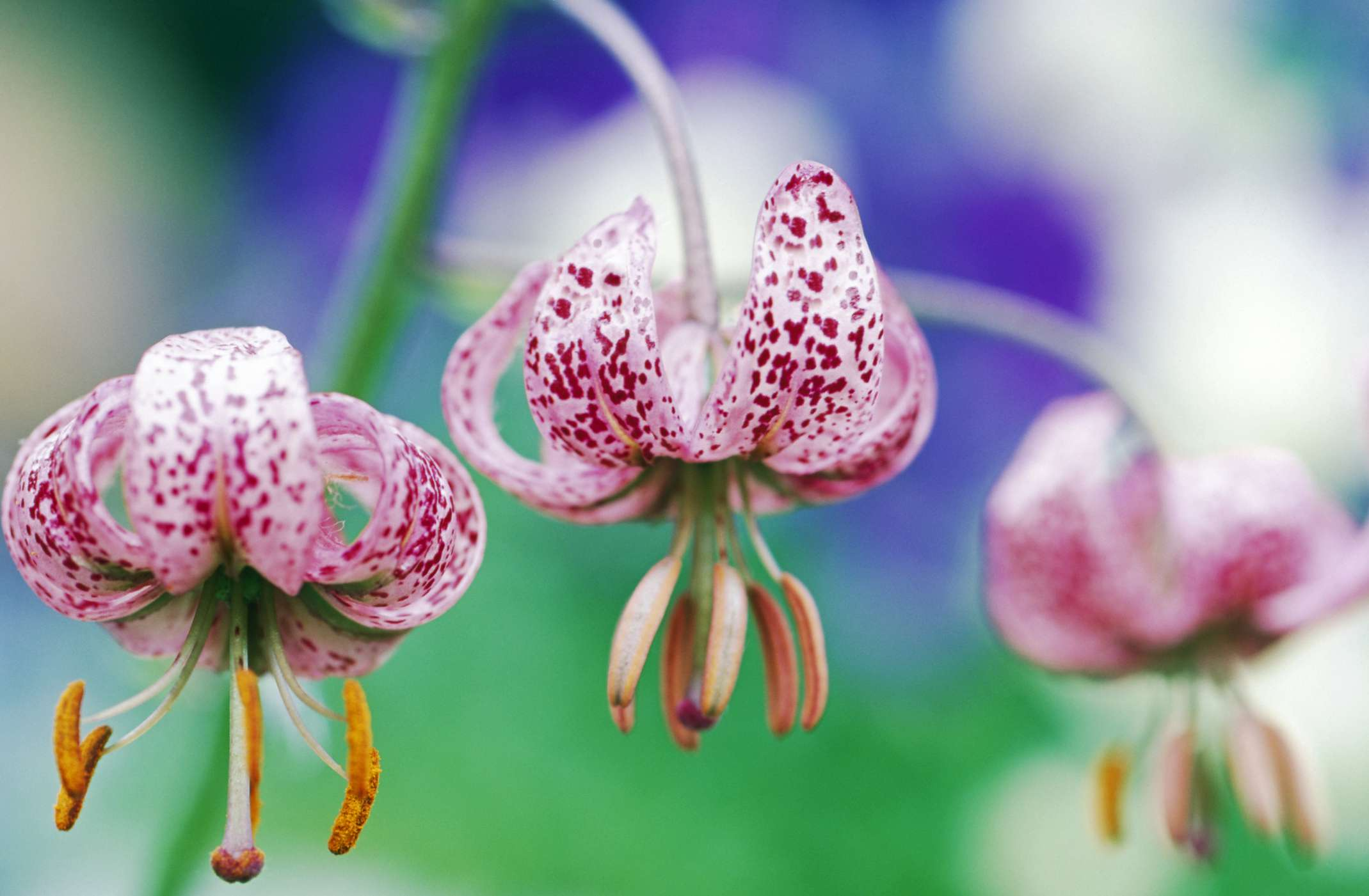 Martagon lilies with speckled pink flowers