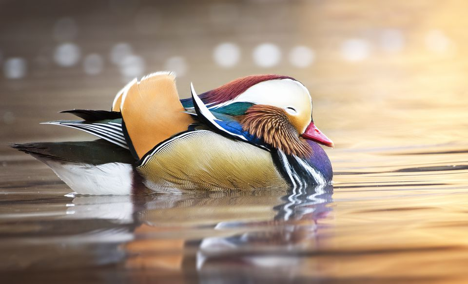 Cute Little Mandarin Duck with Eyes Closed in Central Park