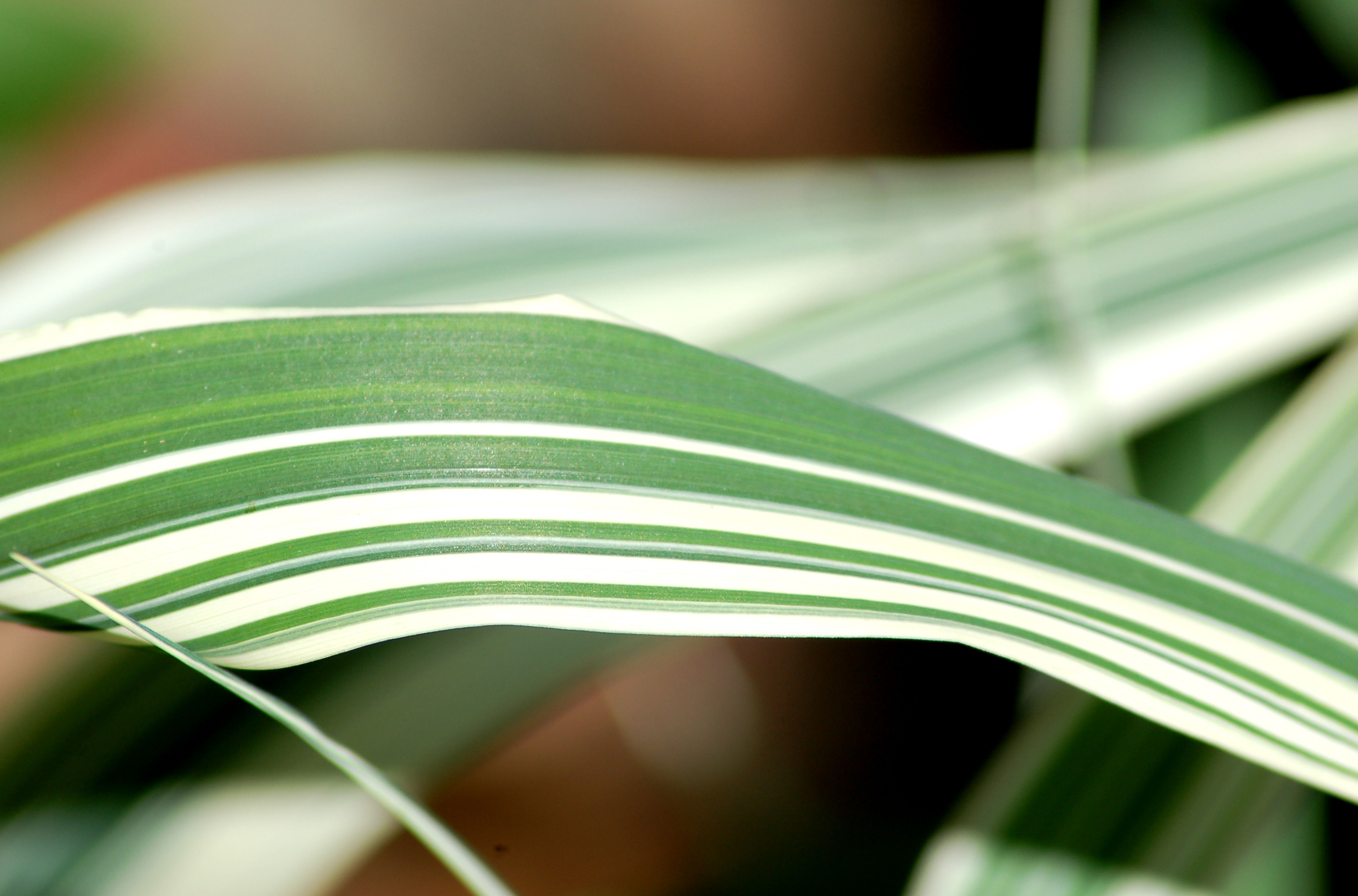 Close up of ribbon grass blade with its variegation.