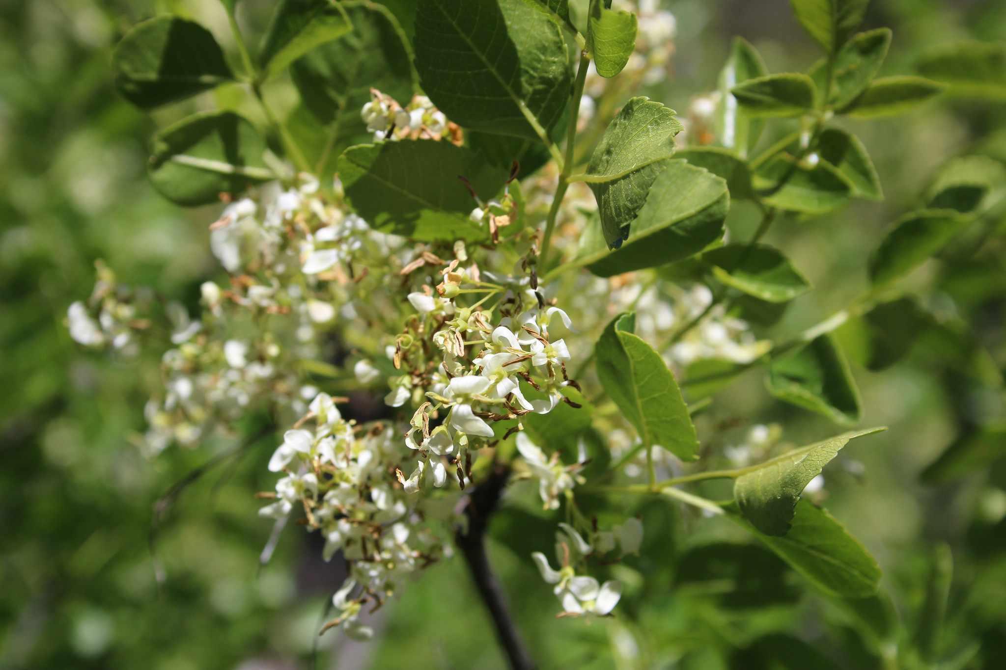 California ash- Fraxinus dipetala