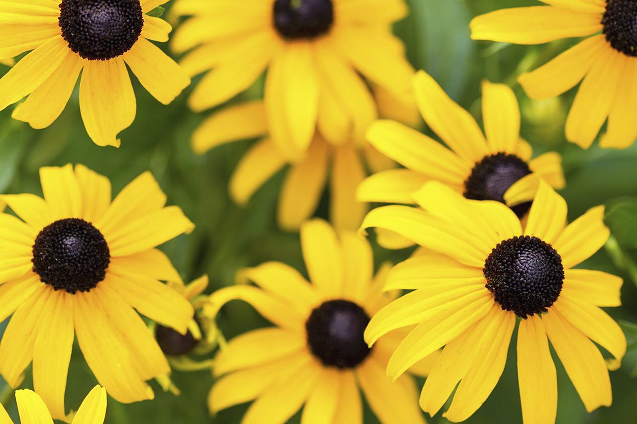 Rudbeckia Varieties Black Eyed Susan Flowers