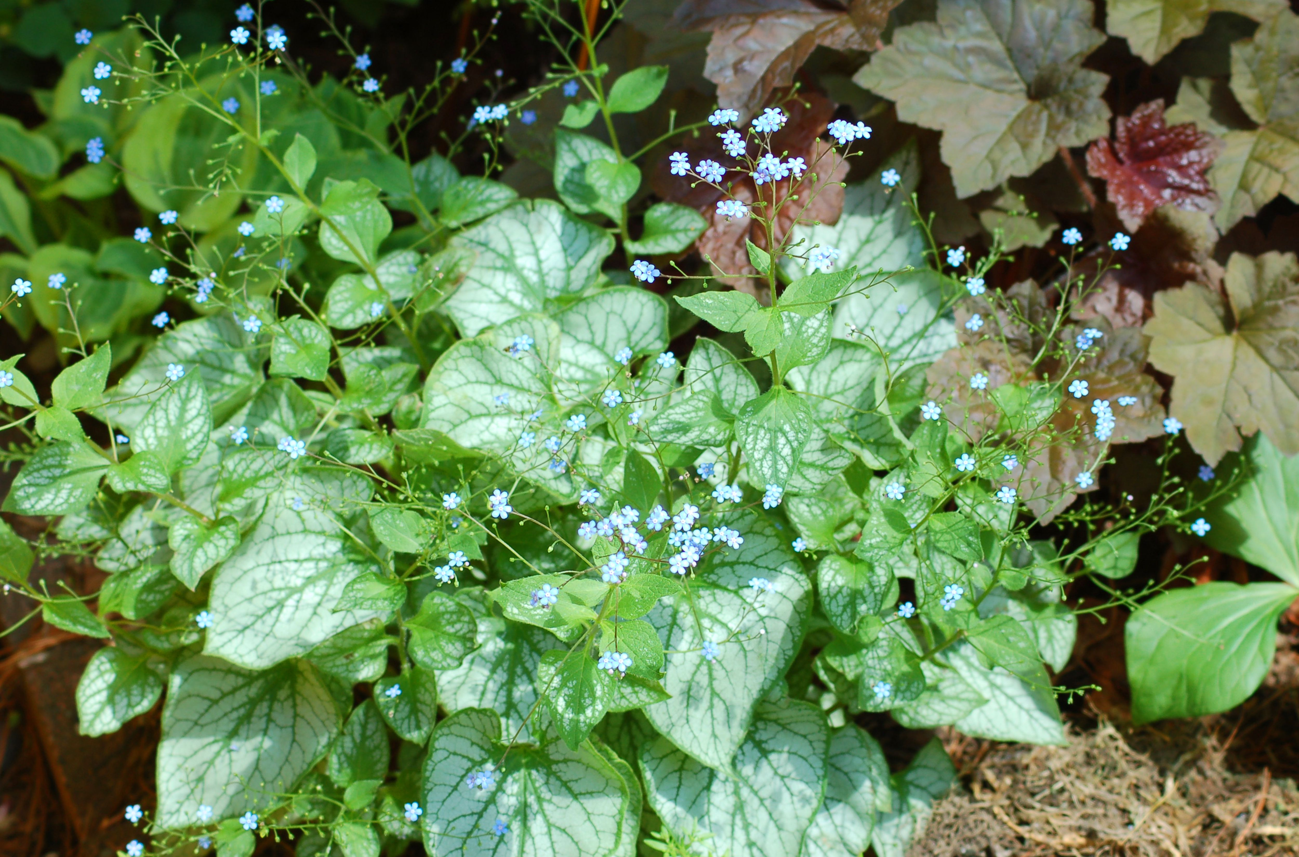 Brunnera Jack Frost in bloom with variegated leaves.