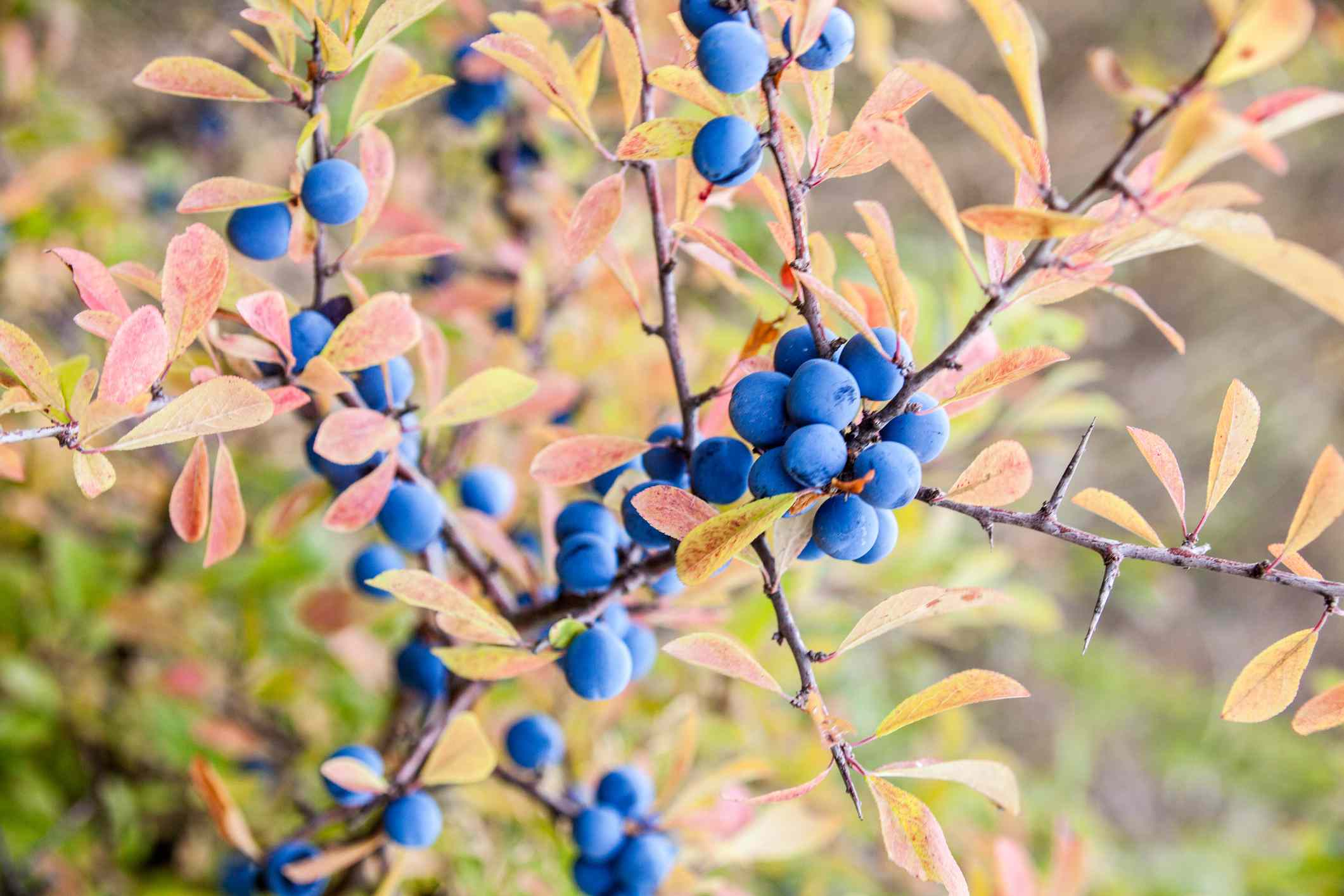 Blackthorn (Prunus spinosa) berries