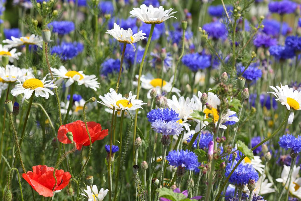 Red, white, and blue flowers in a field.
