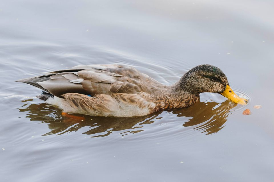 duck swimming and eating bread
