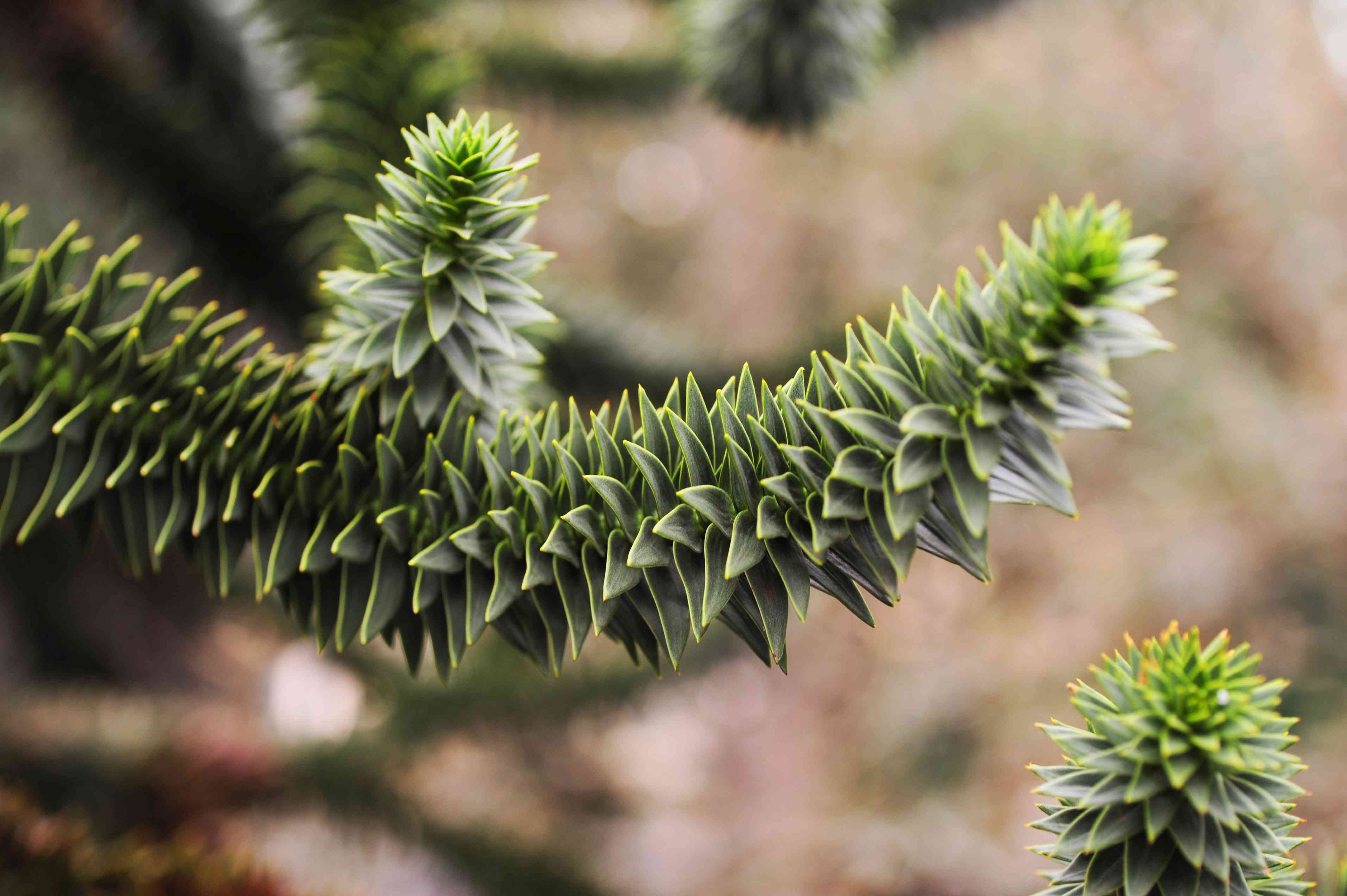 closeup of monkey puzzle tree