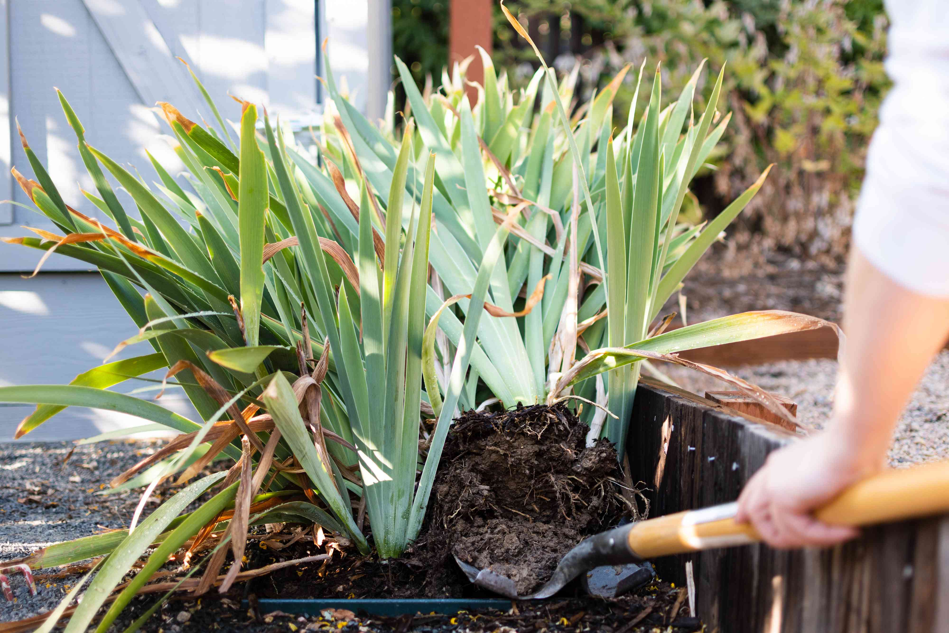 Garden shovel digging up clumps of bearded iris plants with clumps