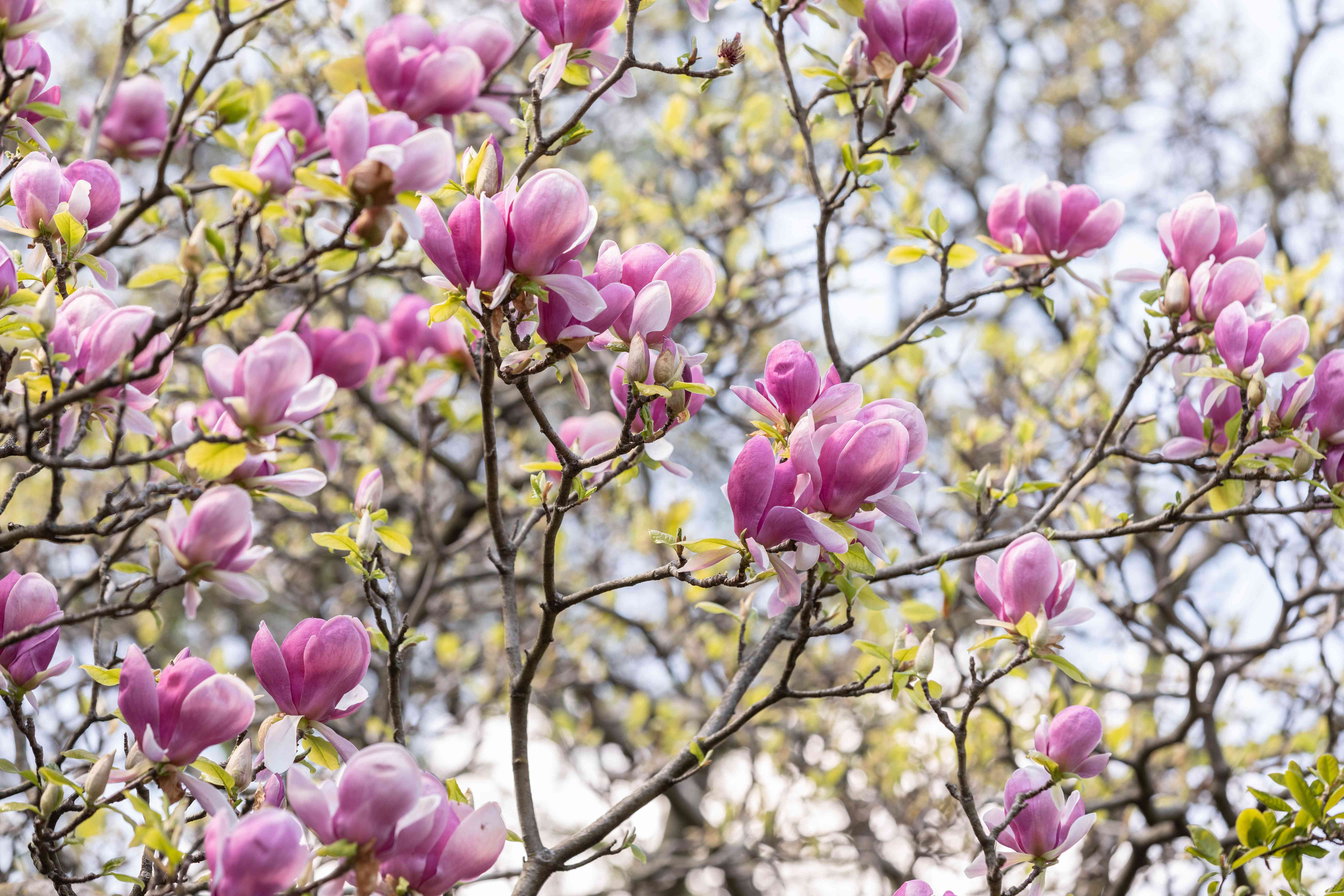 Saucer magnolia trees with bright pink saucer-like flowers on thin branches