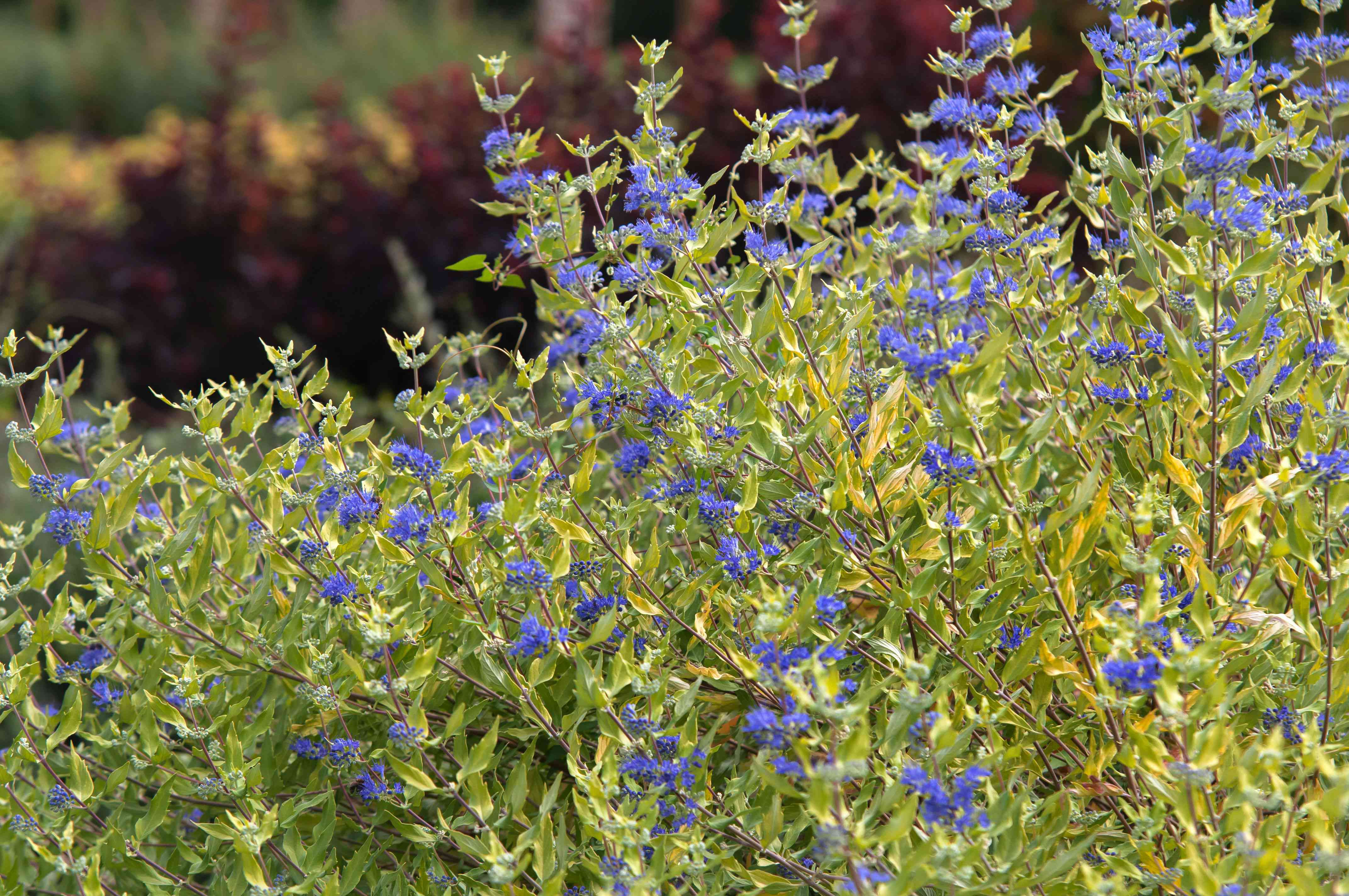Bluebeard shrub with yellow-green leaves on stems and small blue flowers on thin stems