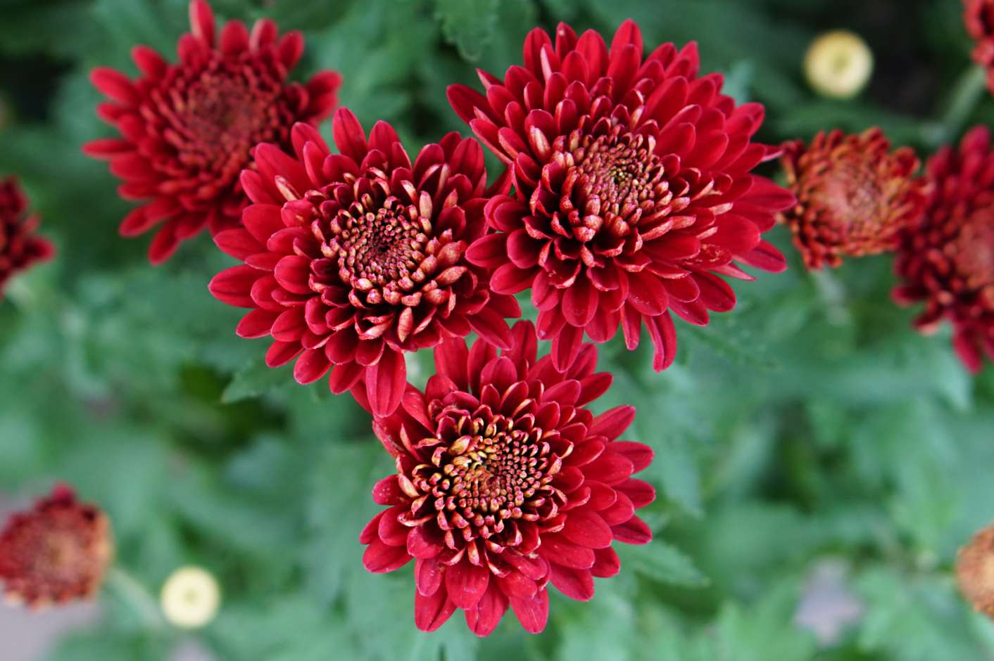 Hardy mum plant with red flowers and leaves closeup