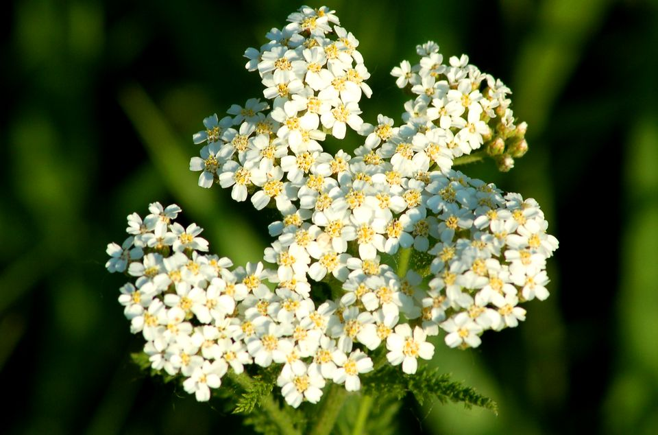 yarrow in the wild