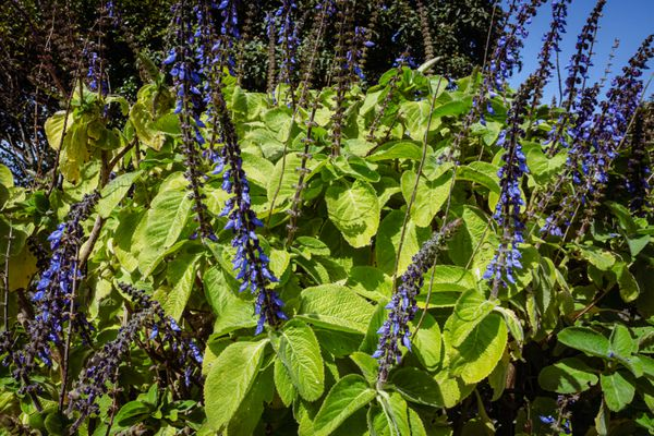 Blue spur flowers with large and bright green leaves and blue-purple flower stalks in sunlight