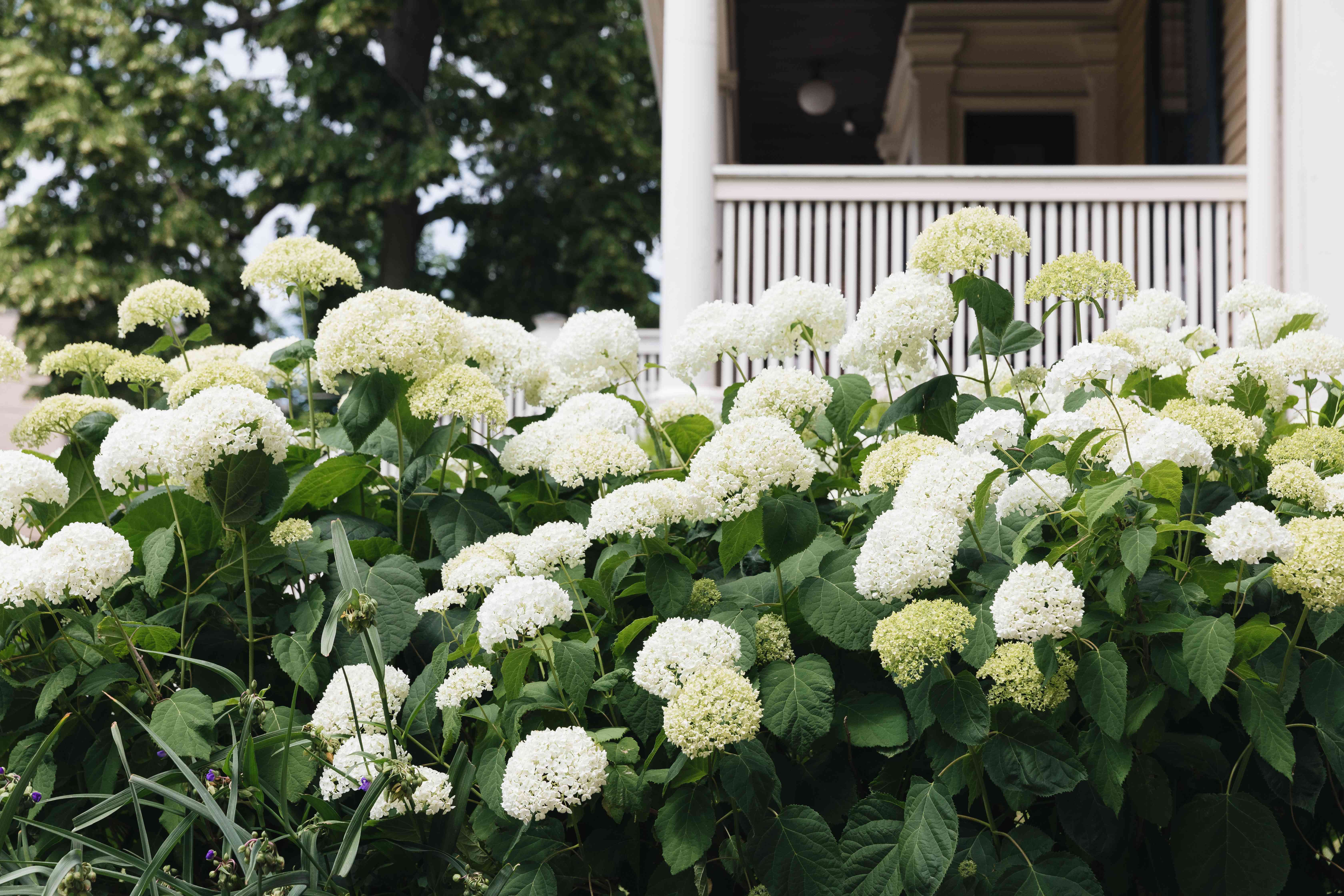 incrediball hydrangeas used in landscaping