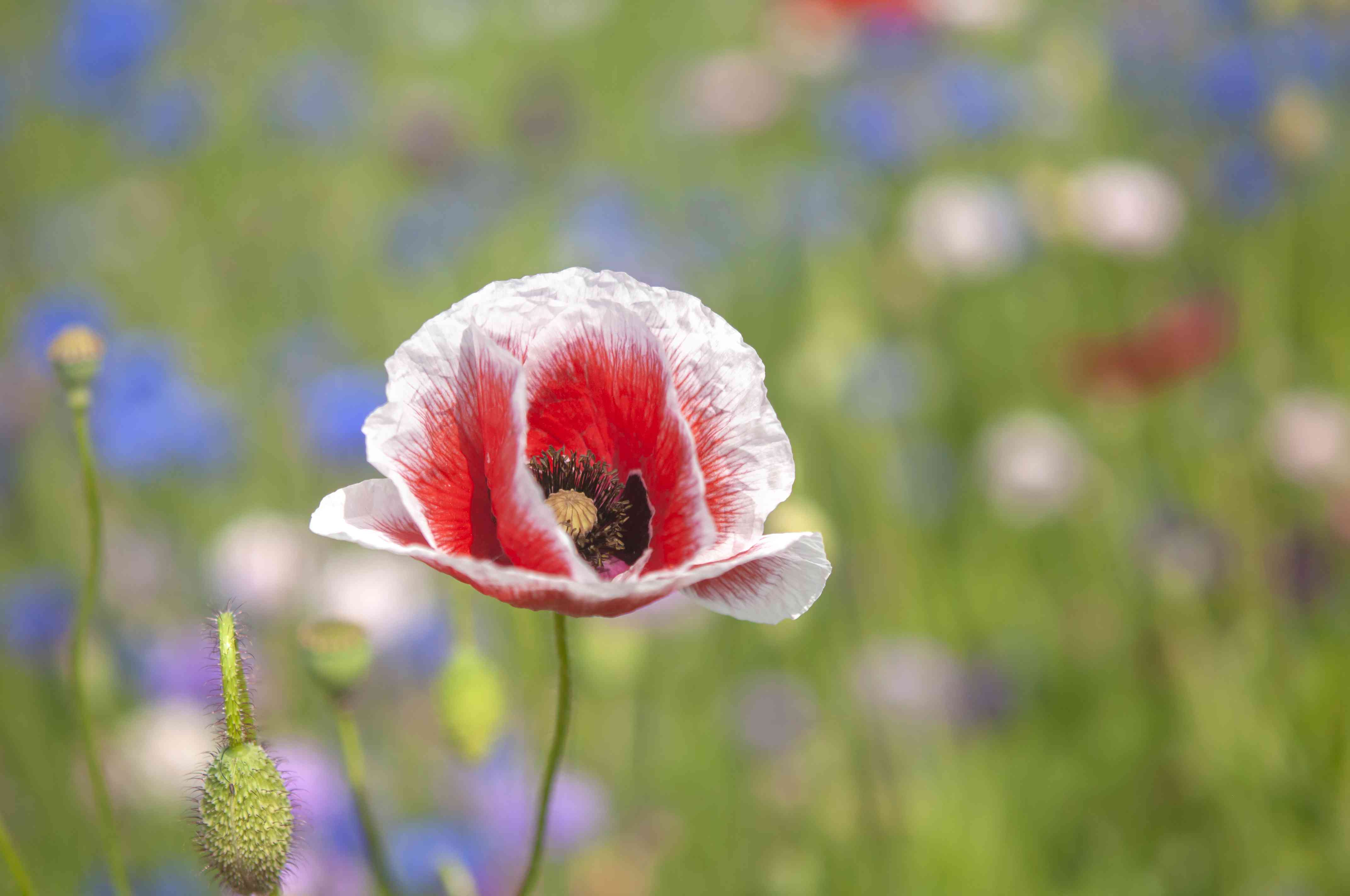 Common poppy with red flowers and white tips next to bud closeup