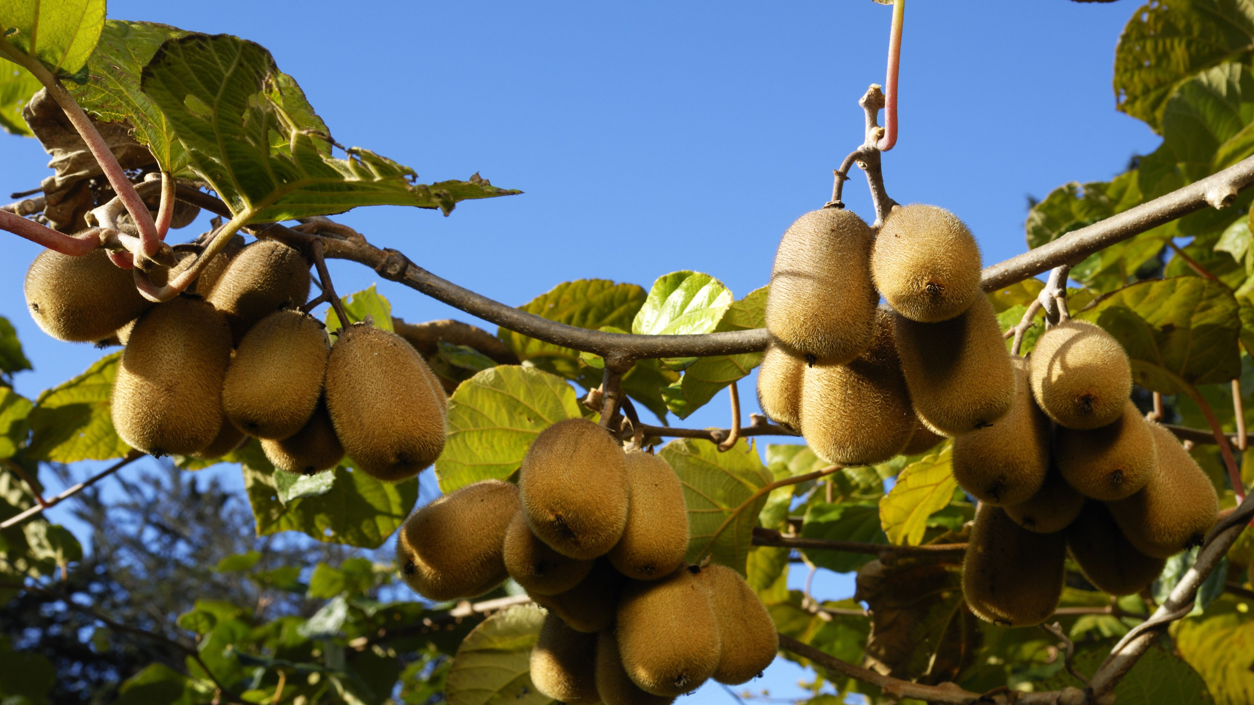 How To Grow Kiwi Vines In Your Landscape