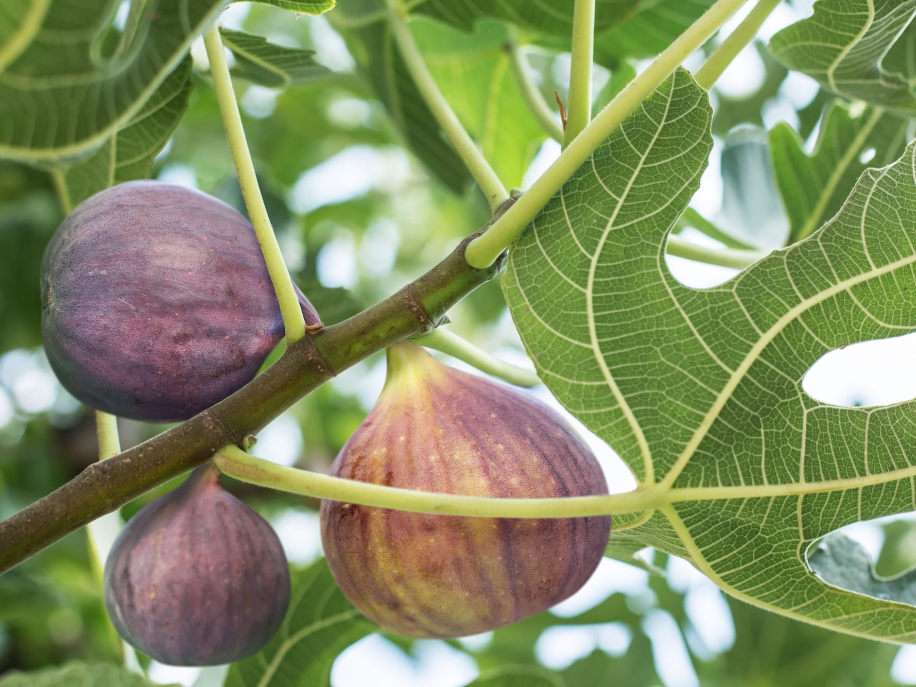 9 Species Of Fig Ficus Trees For Indoor And Outdoor Gardening,Steamed Broccoli Brockly