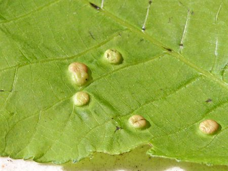 How to Deal With Leaf Galls (Bumps on Your Tree's Leaves)