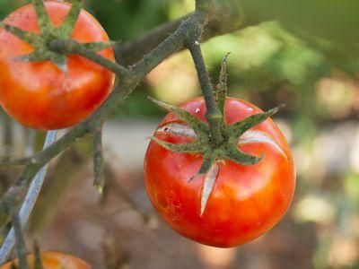 Red tomatoes hanging on diseased vine closeup