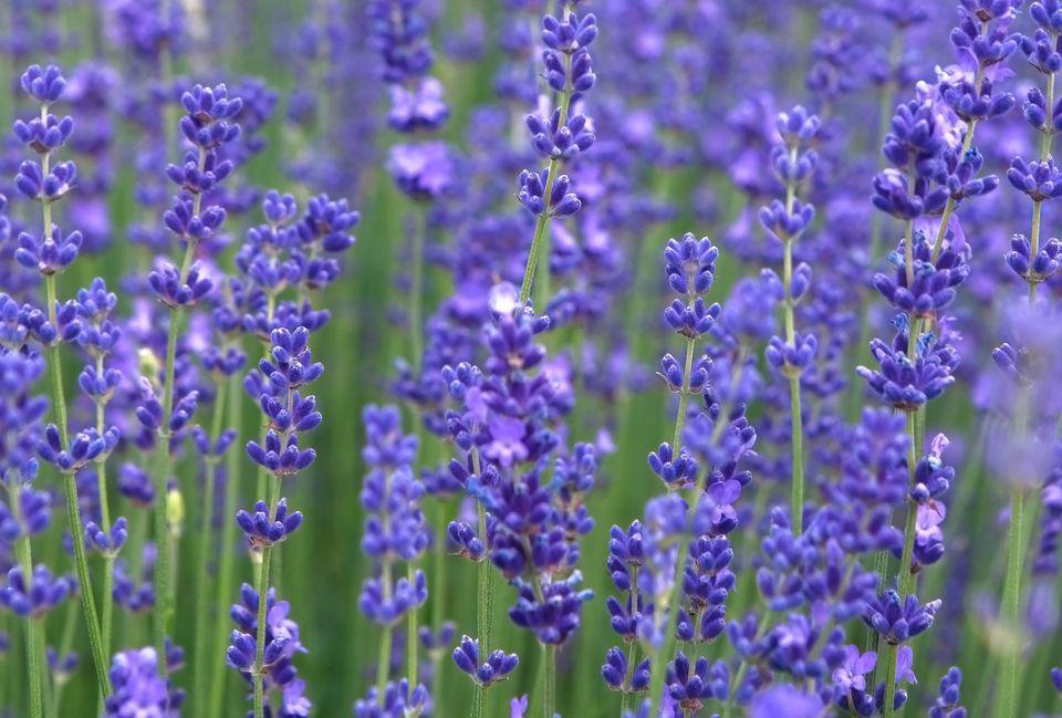 Lavender plant with purple flowers closeup