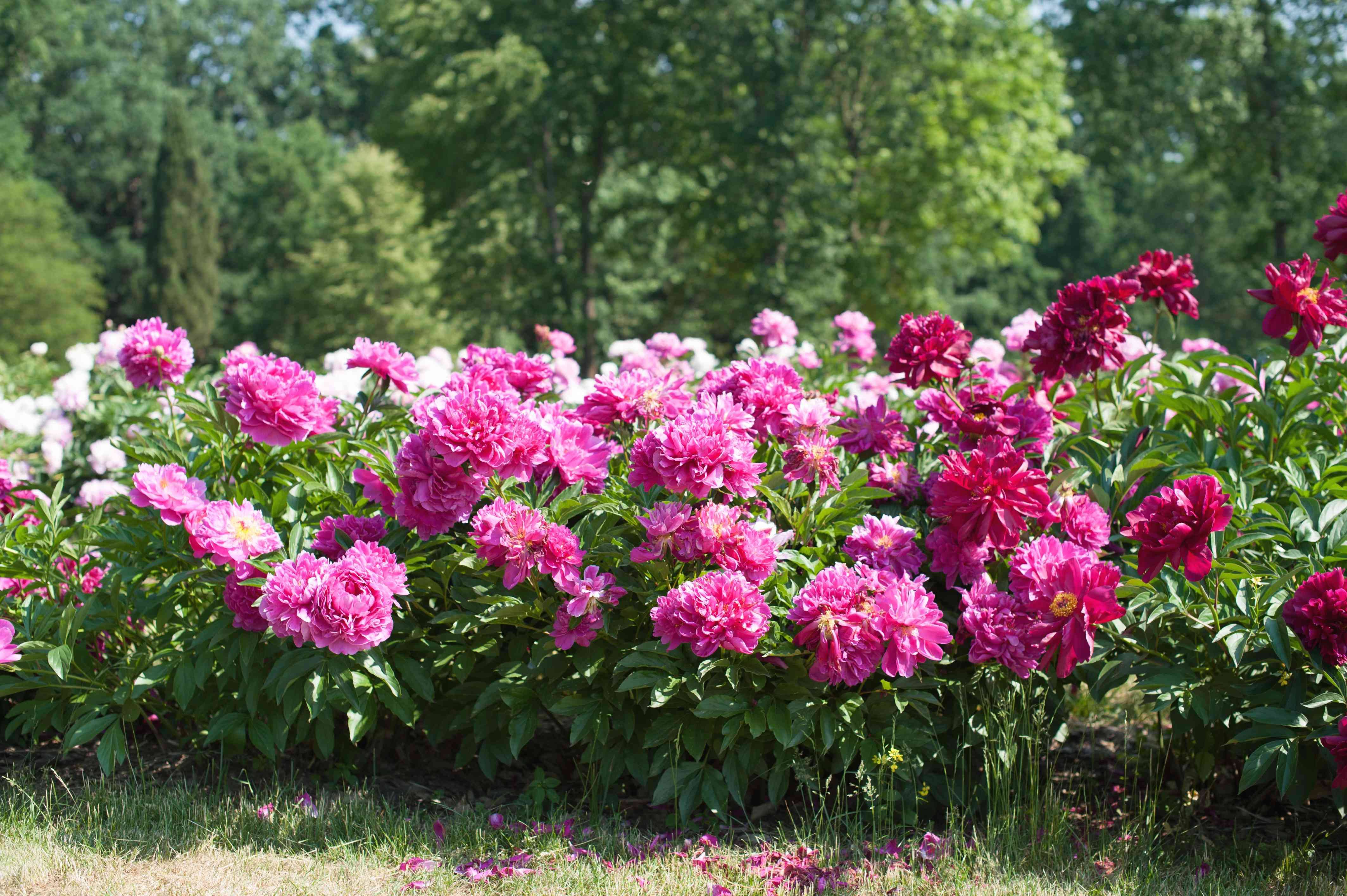 Peonies bushes with pink, red, and white flowers in sunlight