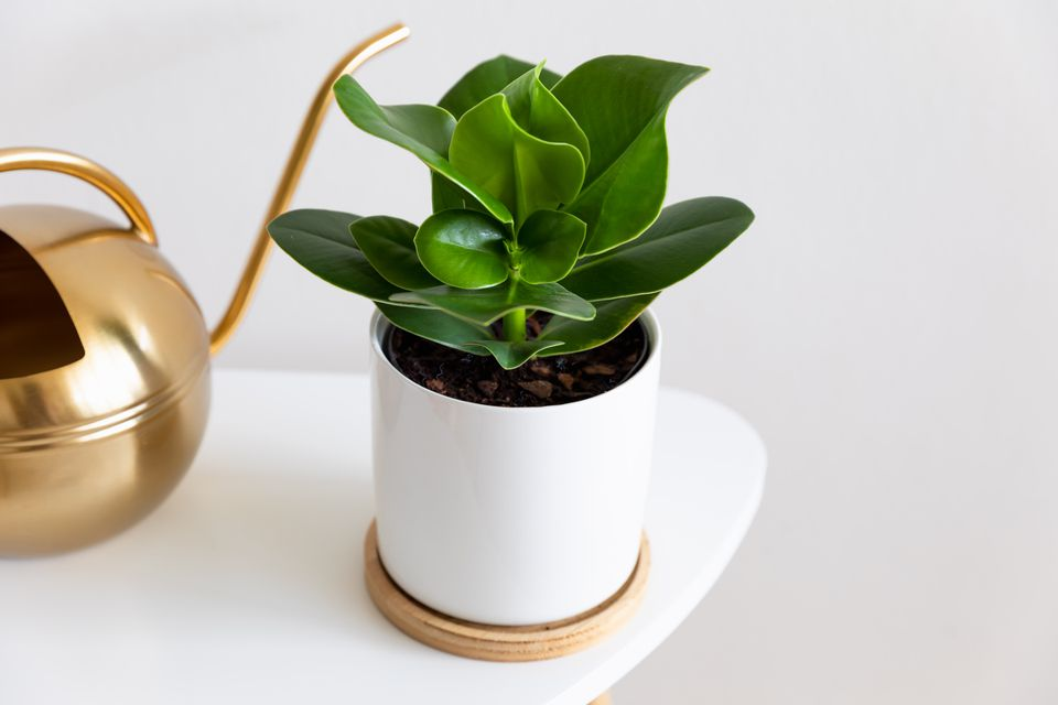 clusia plant on a table