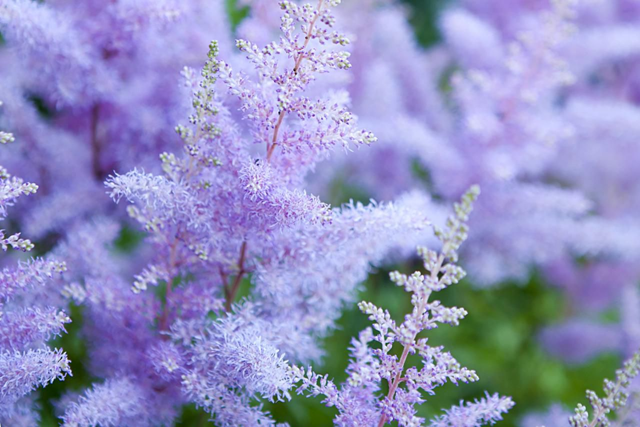 Purple astilbe close-up. High angle view.
