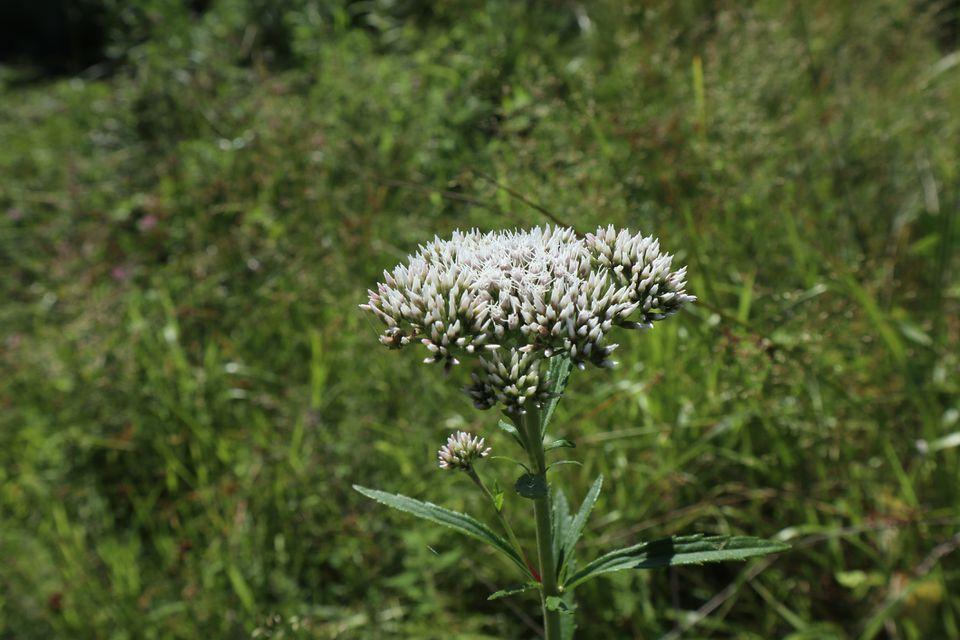 Boneset flower head.