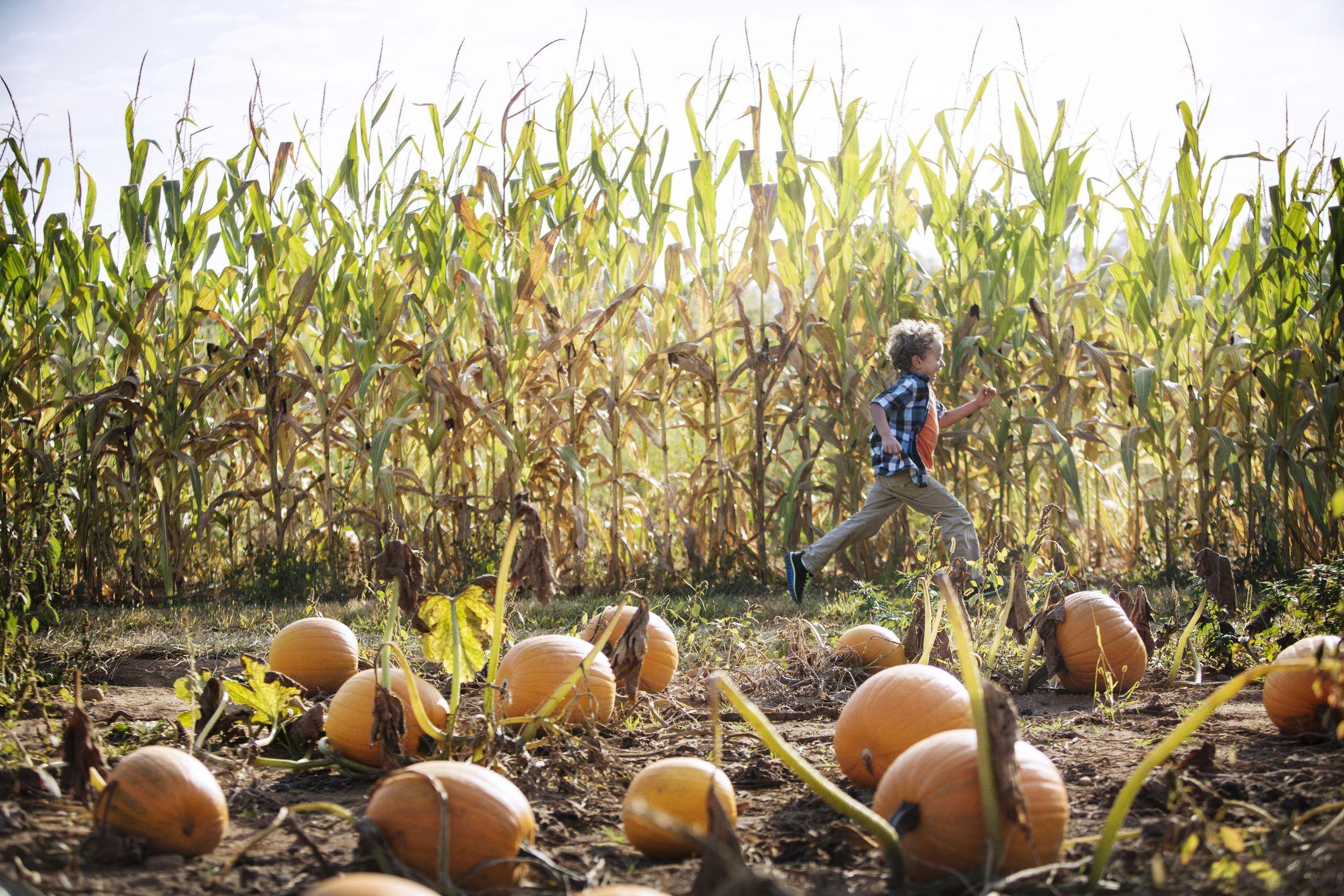 Niño corriendo por calabazas en la granja