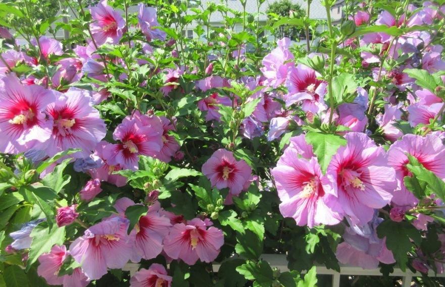 Purple Pillar hibiscus