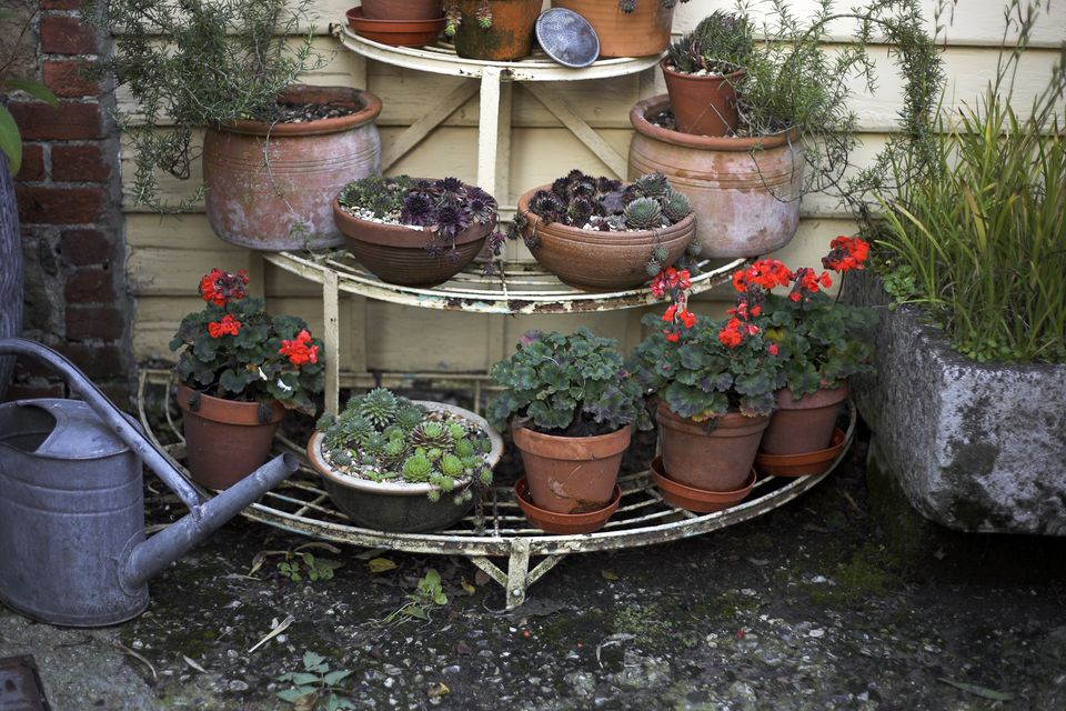 Tiered garden shelving with geraniums (Pelargonium) and mixed houseleeks (Sempervivum), late Summer