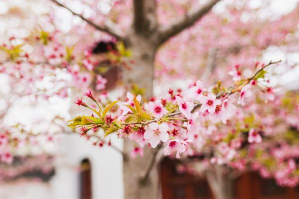 Flowering cherry tree branch with white and light pink blossoms