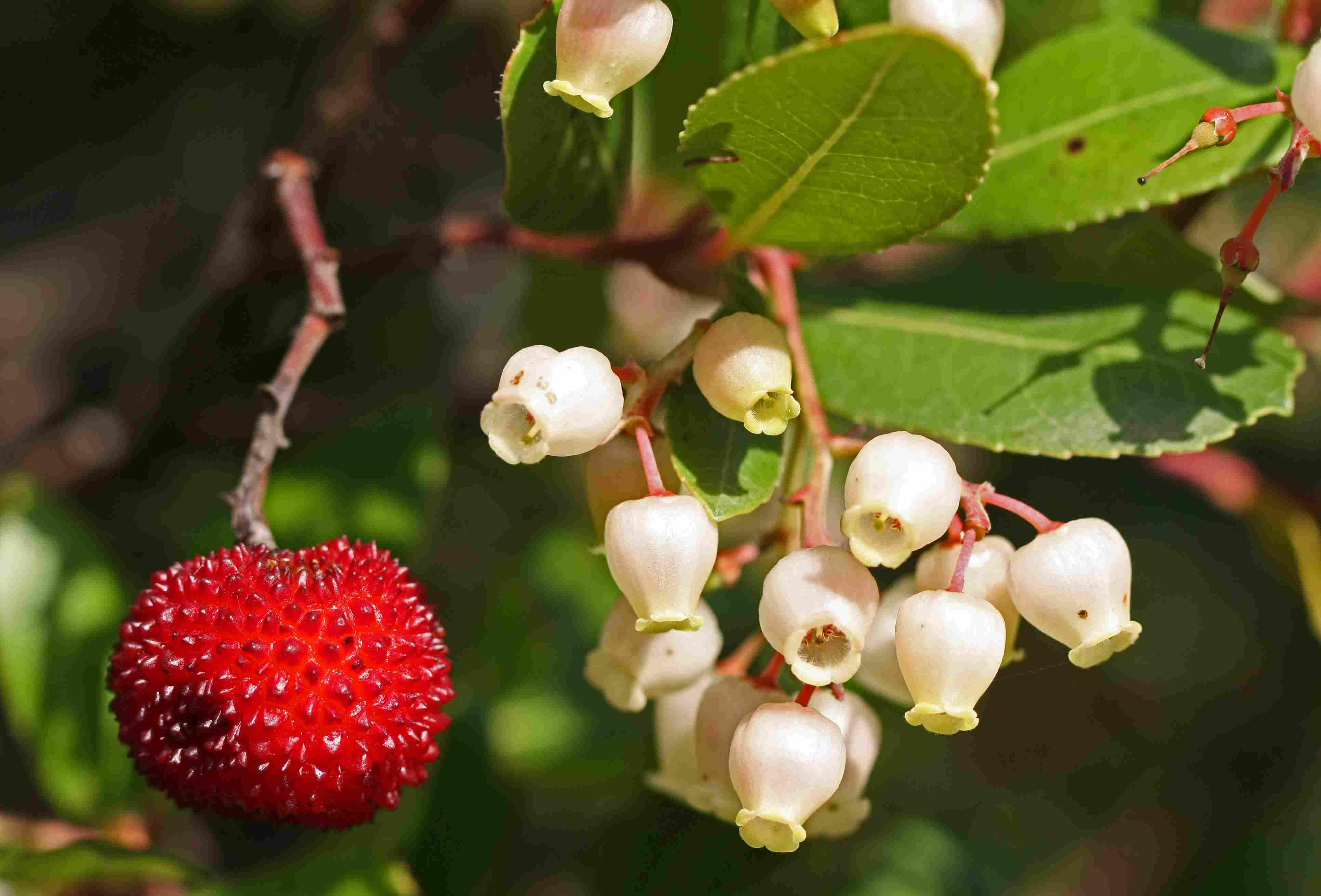 Arbutus unedo (strawberry tree) in bloom