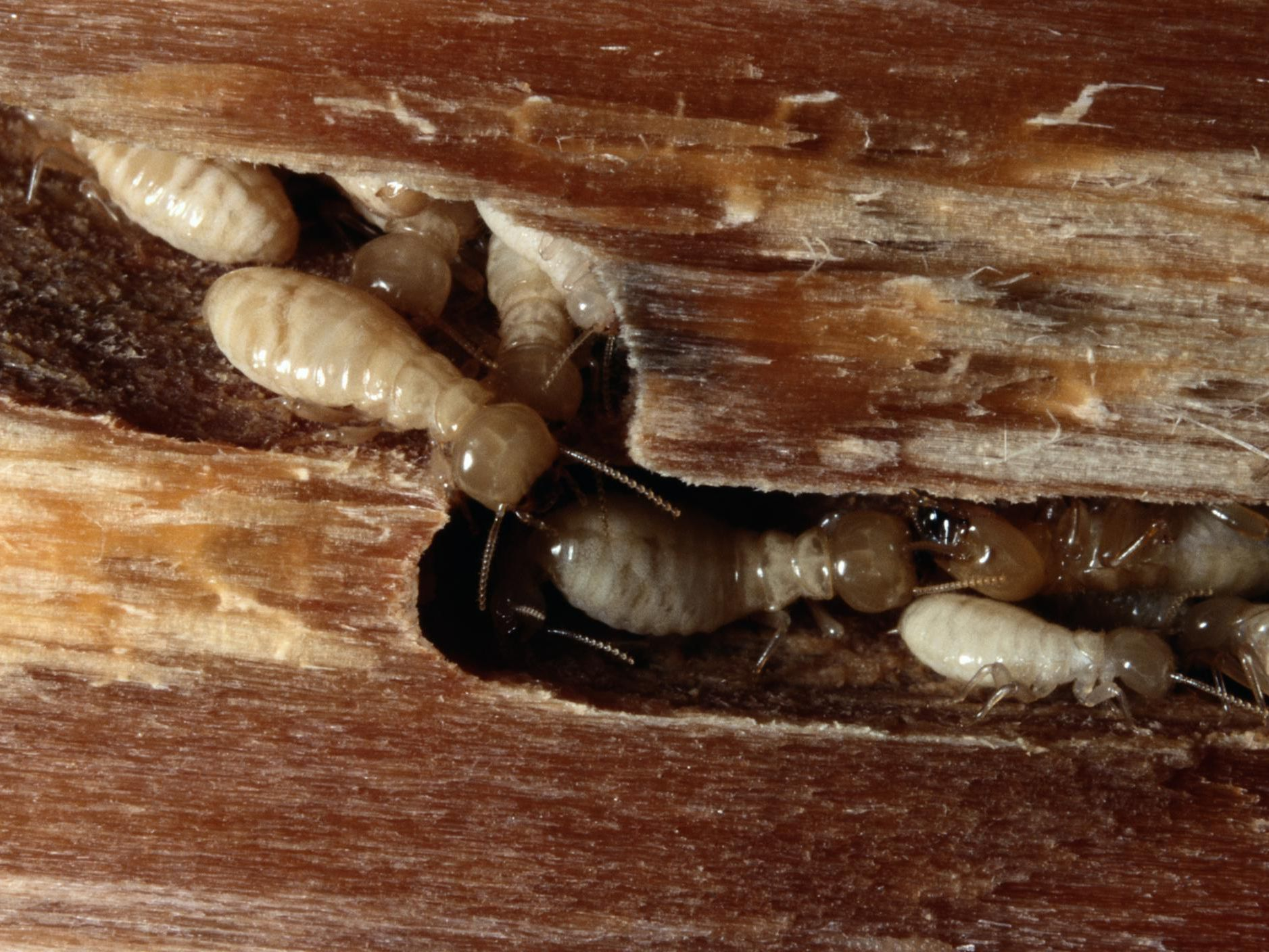Using Orange Oil To Treat Dry Wood Termites
