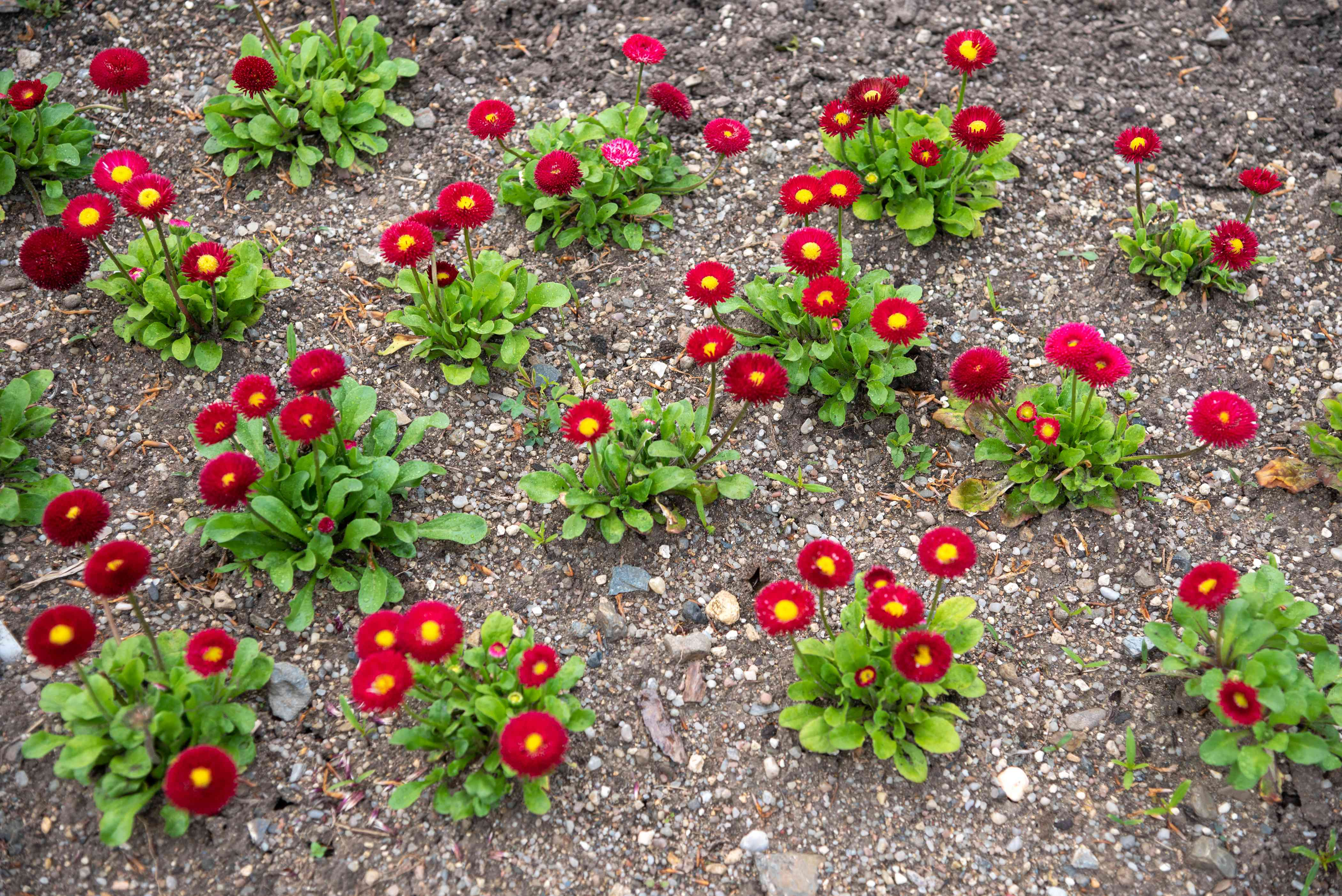 English daisy flowers with red ray petals surrounding yellow centers in gravel ground