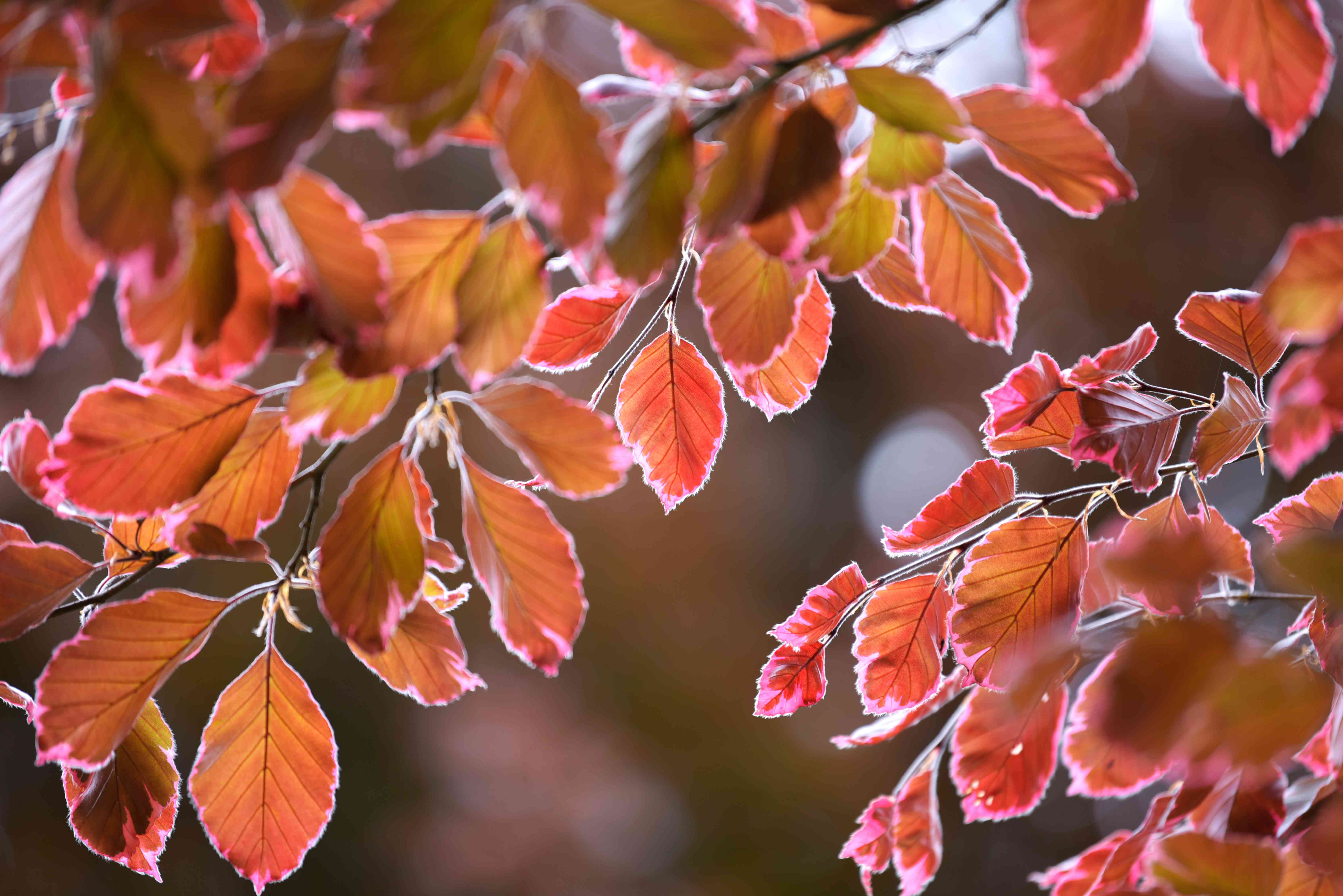 Tricolor beech tree stem with copper red and brown leaves closeup