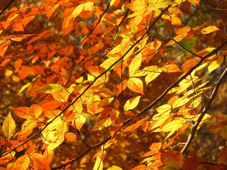 american beech trees in fall