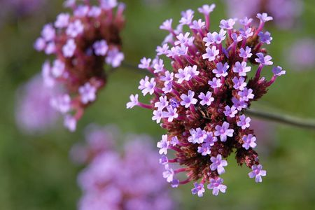 how to care for verbena plants