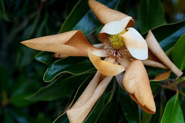 Brown leaves on a magnolia tree.
