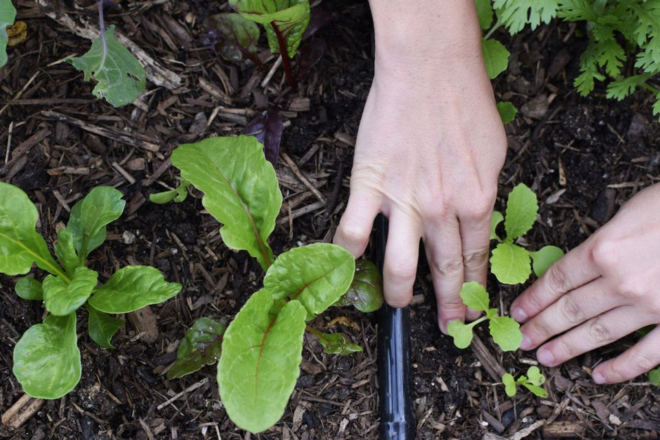 thinning out vegetable seedlings