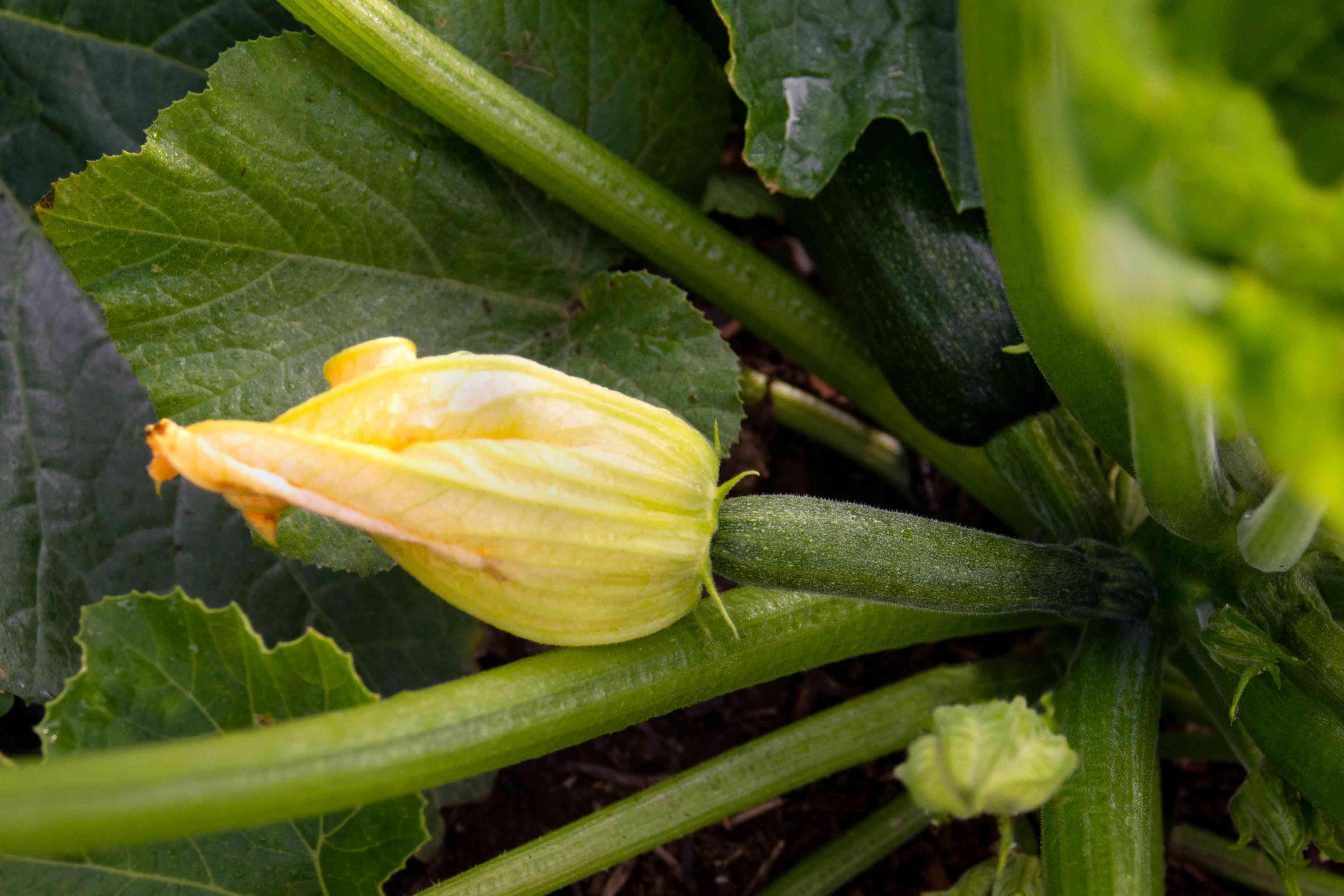 Zucchini plant stems with yellow flower bud closeup