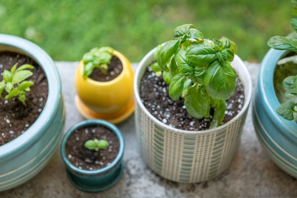 basil growing in various containers
