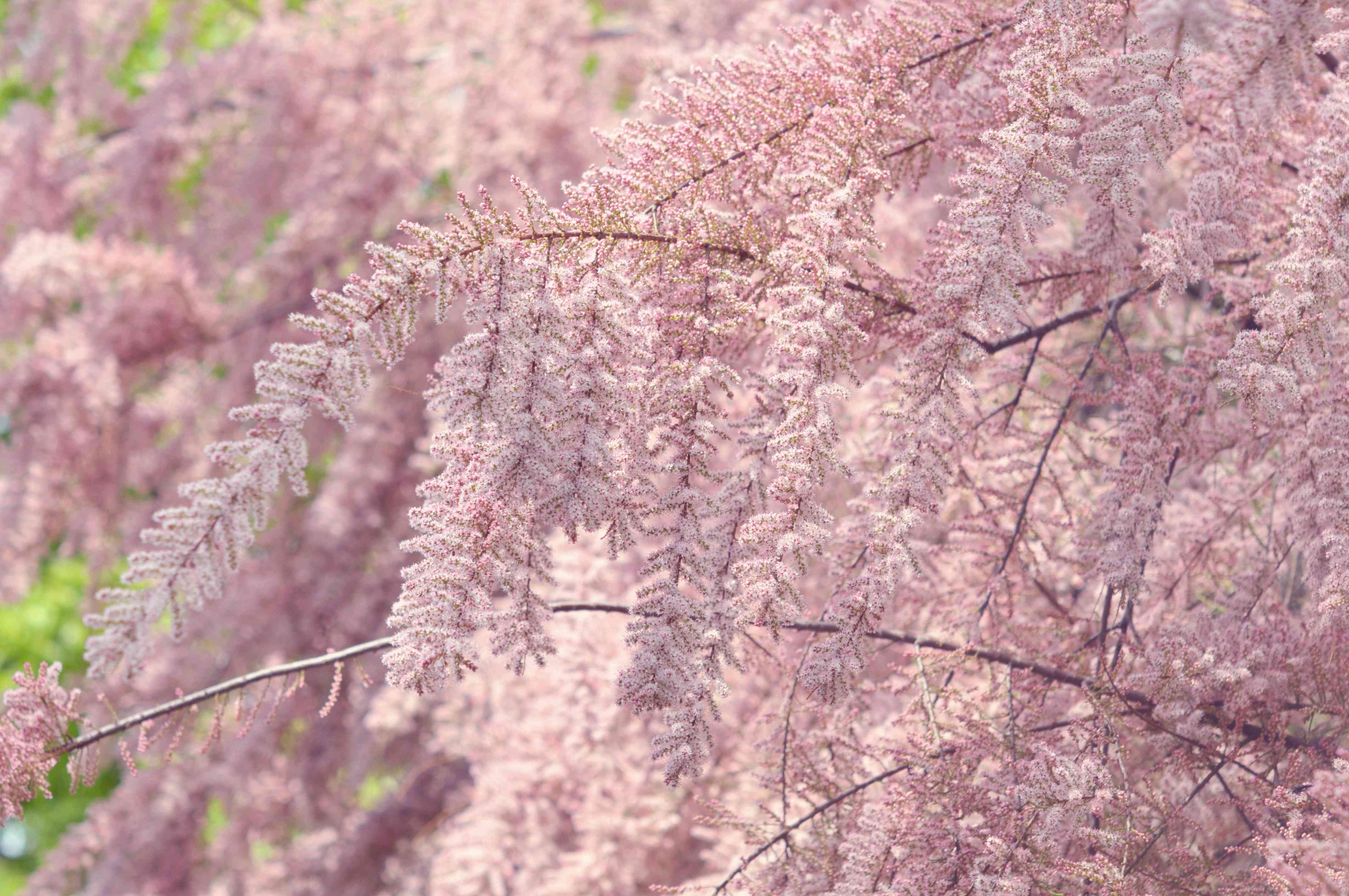 Tamarisk tree with small pink flowers covering thin branches
