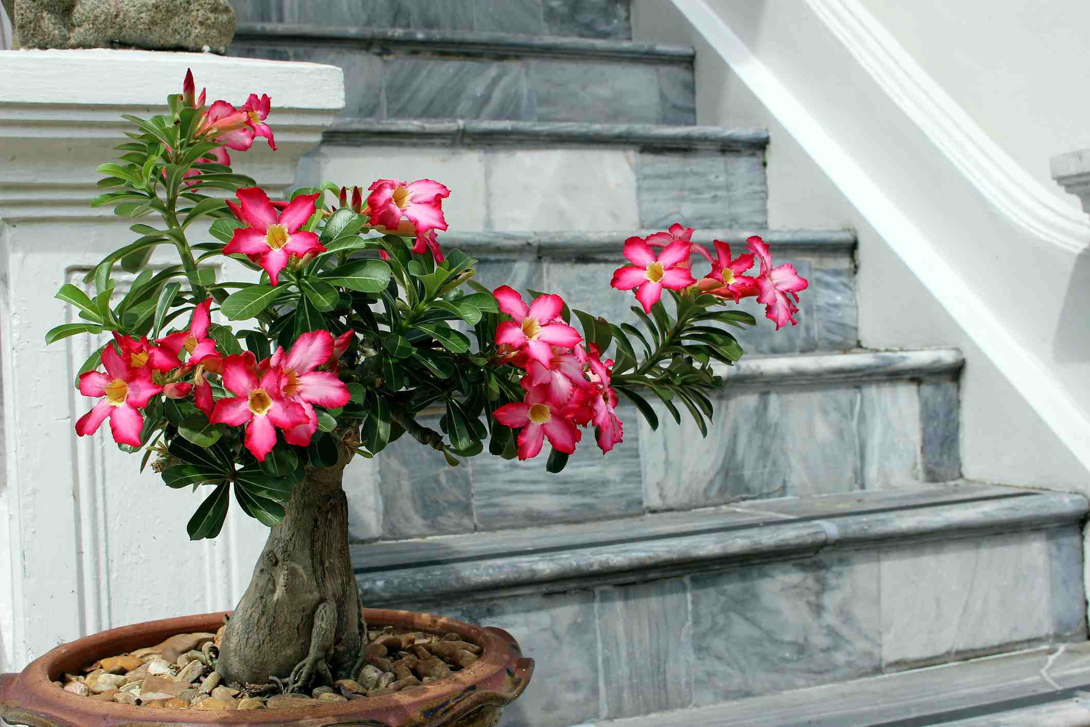 Desert Rose in a pot near a staircase