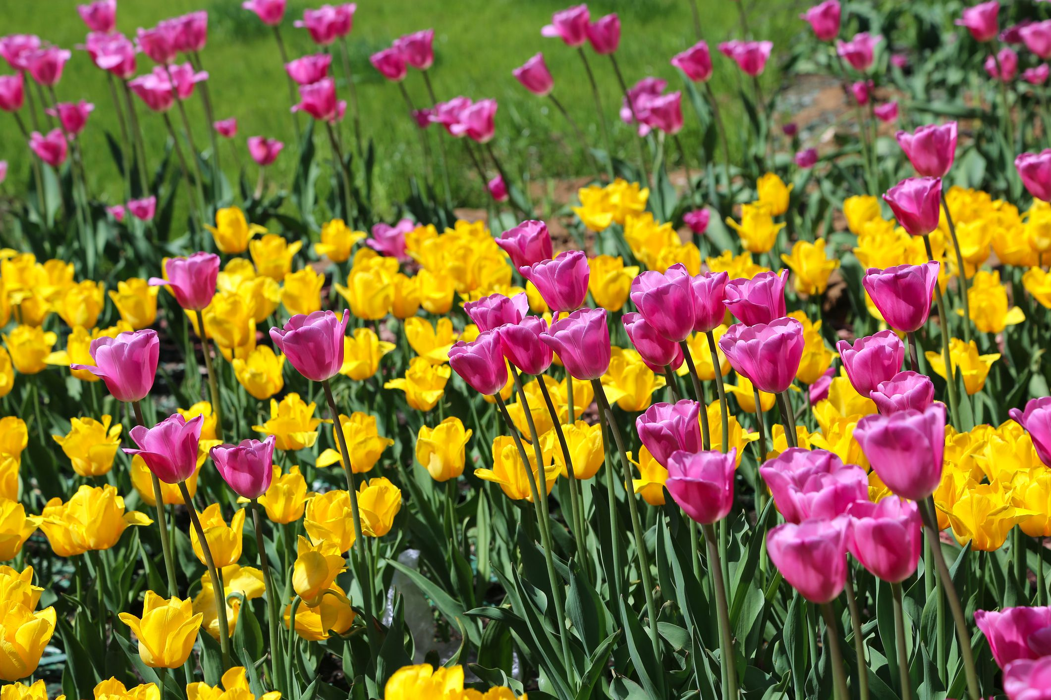 When And How To Plant Spring Bulbs