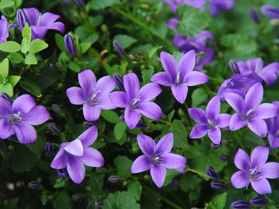 'Bavaria blue' campanula flowers with lavender star-shaped petals and leaves