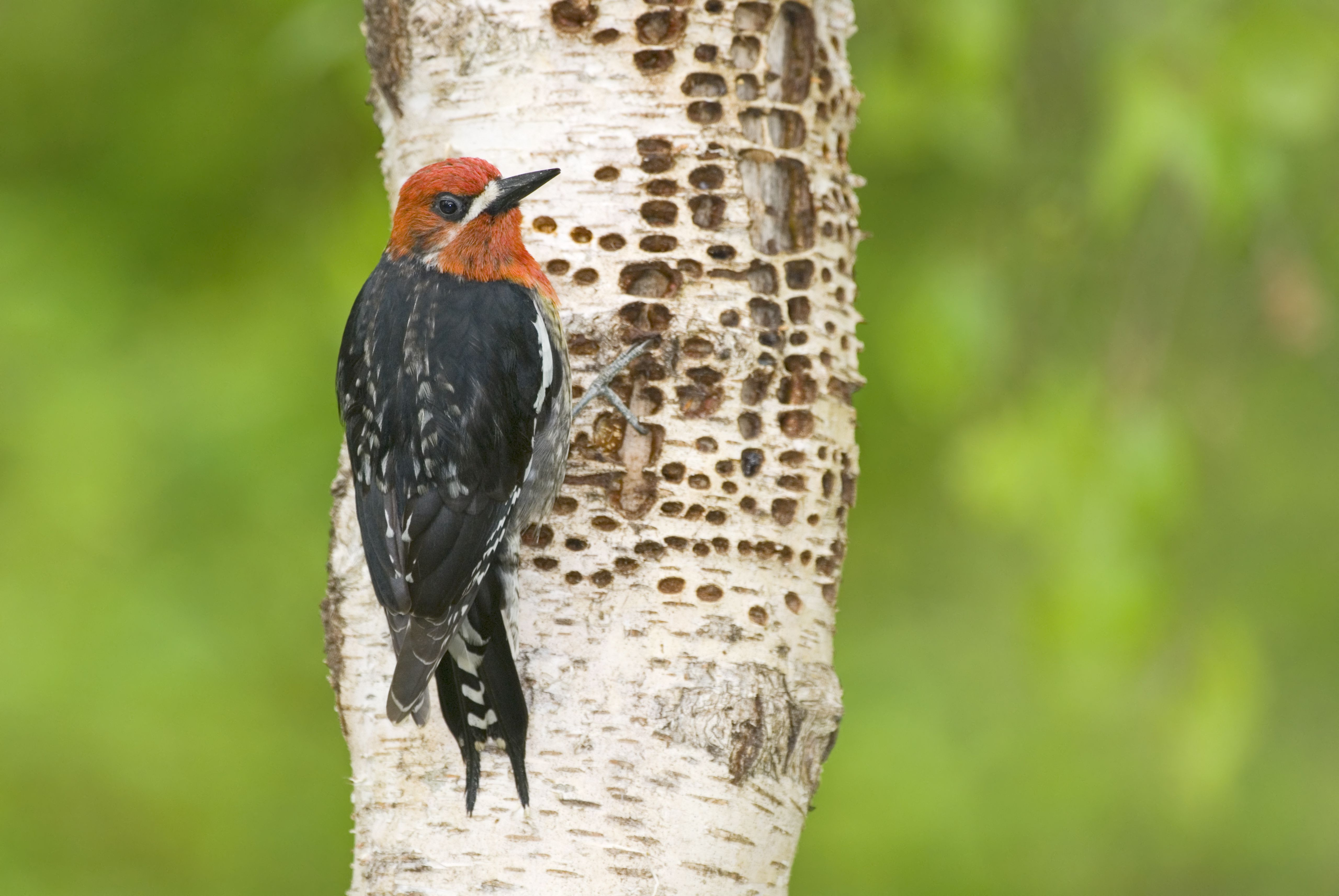 What Makes Little Holes In Trees Woodpeckers Or Borers